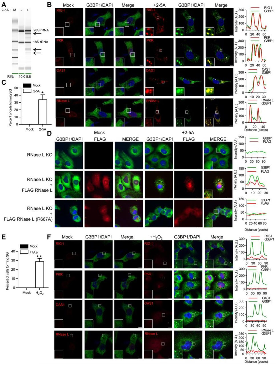 Activation of RNase L induces antiviral stress granules formation. HT1080 cells were transfected with 2–5A (10 µM) for 8h and (A) RNase L-mediated cleavage of rRNA (arrows) was analyzed on RNA chips using the Agilent Bioanalyzer 2100, RNA Integrity Number (RIN) is shown, (B) cells were fixed and stained with G3BP1 and indicated antiviral proteins, the magnified images correspond to the boxed regions, (right) intensity profiles of G3BP1 and antiviral proteins along the plotted lines as analyzed by Image J line scan analysis and (C) the percentage of cells forming stress granules were quantitated. (D) RNase L KO cells were either mock transfected or transfected with FLAG-WT-RNase L or FLAG-R667A-RNase L and immunostained for G3BP1 and FLAG, (right) intensity profiles of G3BP1 and FLAG along the plotted lines as analyzed by Image J line scan analysis. HT1080 cells were treated with H 2 O 2  (1 mM) for 3h and (E) the percentage of cells forming stress granules were quantitated, (F) cells were immunostained with G3BP1 and indicated antiviral proteins (right) intensity profiles of G3BP1 and antiviral proteins along the plotted lines as analyzed by Image J line scan analysis. All experiments included at least 100 cells from three replicates. Scale bars correspond to 10µm. Data are representative of at least three independent experiments. *p