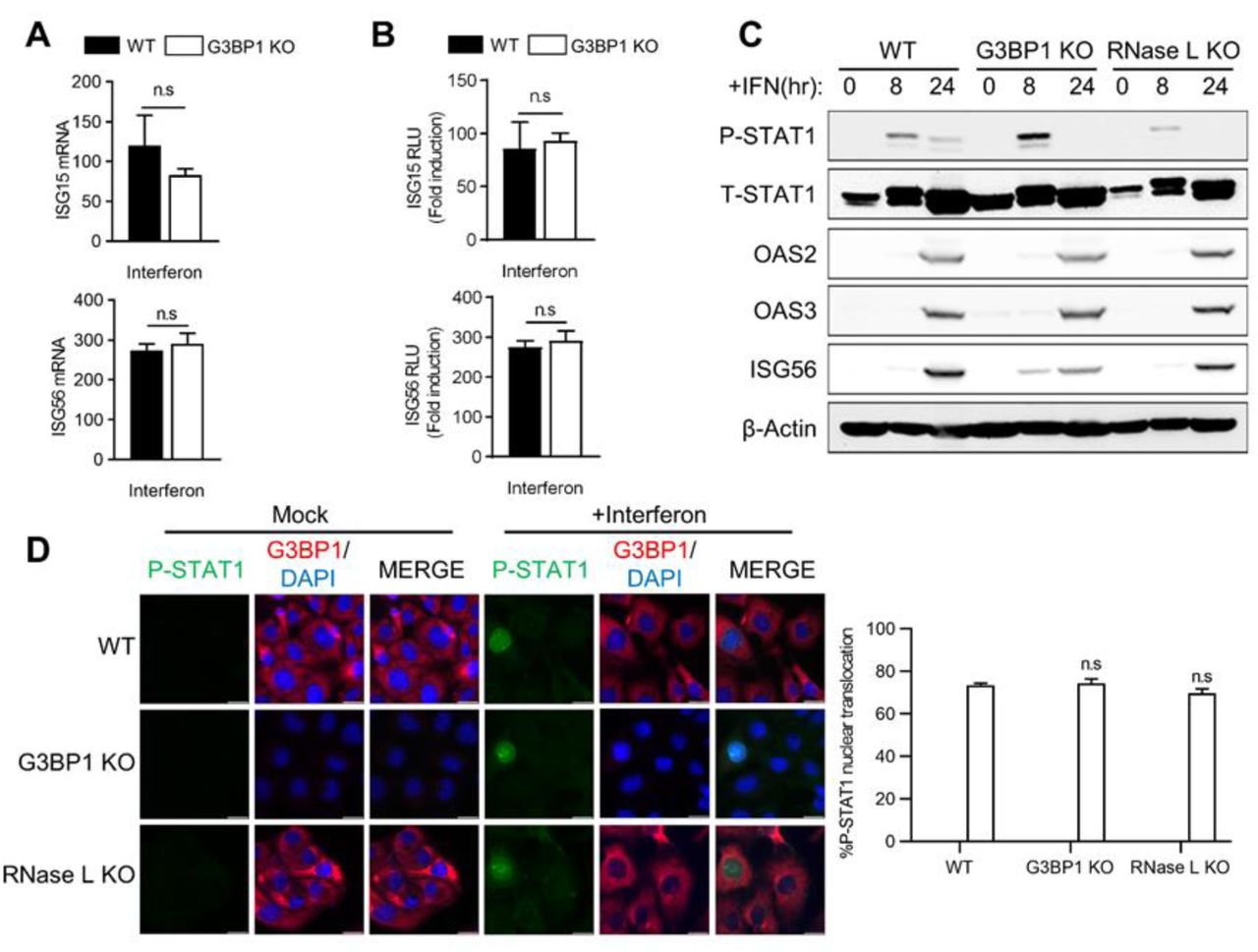 Effect of avSG formation on IFN signaling. HT1080 WT and G3BP1 KO cells were (A) treated with IFN-β (1000 U/ml) for 24h and mRNA levels of ISG15 and ISG56 were measured and normalized to GAPDH by qRT-PCR, (B) transfected with ISG15-luc or ISG56-luc reporter constructs along with β-galactosidase plasmids and 24h later treated with IFN-β (1000 U/ml) and luciferase activity were measured and normalized to β-galactosidase levels. (C) WT, G3BP1 KO and RNase L KO cells were treated with IFN-β (1000 U/ml) for indicated times and cell lysates were analyzed for phosphorylation of STAT1 and induction of OAS2, OAS3 and ISG56 in immunoblots. β-actin was used to normalize loading. (D) WT, G3BP1 KO and RNase L KO cells were treated with IFN-β (1000 U/ml) for 16h and nuclear translocation of p-STAT1 was determined by immunofluorescence and nucleus was stained with DAPI, (right) quantification of p-STAT1 nuclear translocation from five random fields. Data represent mean ± S.E. for three independent experiments. n.s: not significant, WT: Wild-Type.