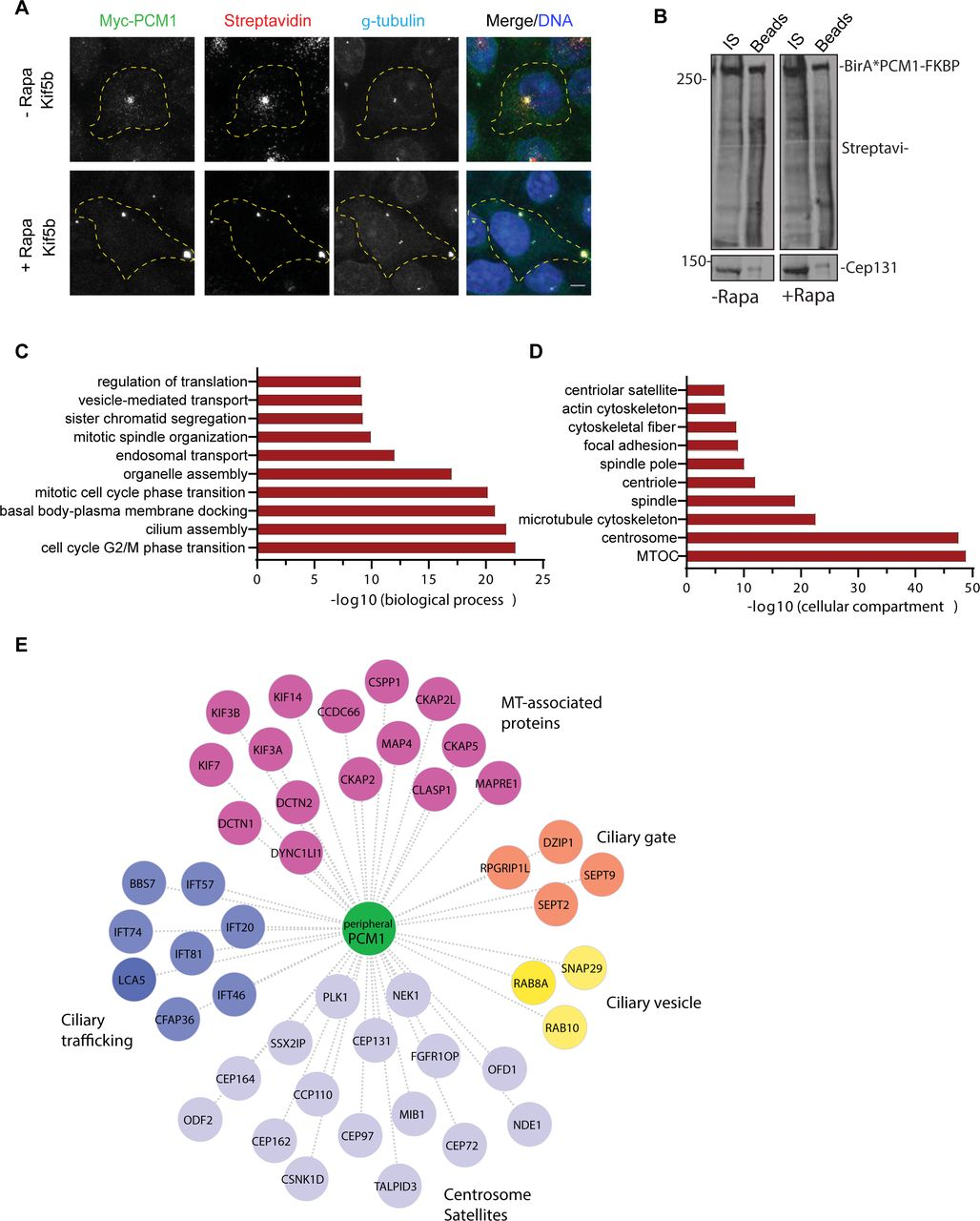 """The proximity interactome of PCM1 at the peripheral clusters is enriched for proteins implicated in ciliogenesis and mitosis The proximity PCM1 interactome of satellites were identified using the BioID approach. (A) HEK293T cells were transfected with Myc-BirA*-PCM1-FKBP and induced for peripheral targeting of satellites with rapamycin treatment for 1 h. Cells that were not treated with rapamycin were used as a control. After 18 h biotin incubation, cells were fixed and stained for Myc-BirA*-PCM1-FKBP expression with anti-myc, biotinylated proteins with streptavidin and centrosomes with g-tubulin. DNA was stained with DAPI. Scale bar = 10 μm, cell edges are outlined. (B) Biotinylated proteins from cell lysates from cells expressing Myc-BirA*-PCM1-FKBP (-rapamycin or +rapamycin) were pulled down with streptavidin chromatography and samples were analyzed by SDS-PAGE and western blotting with streptavidin to detect biotinylated proteins and with anti-Cep131 (positive control). IS: initial sample used for streptavidin pulldowns, Beads: Eluted proteins. (C, D) GO-enrichment analysis of the proximity interactors of PCM1 after rapamycin treatment based on their (C) biological processes and (D) cellular compartment. The X-axis represents the log transformed p-value (Fishers exact test) of GO terms. (E) The cilium-associated proteins in the interactome of peripheral satellites were determined based on GO categories and previous work and different ciliogenesis functional modules plotted in the """"peripheral PCM1 interaction network using Cytoscape."""