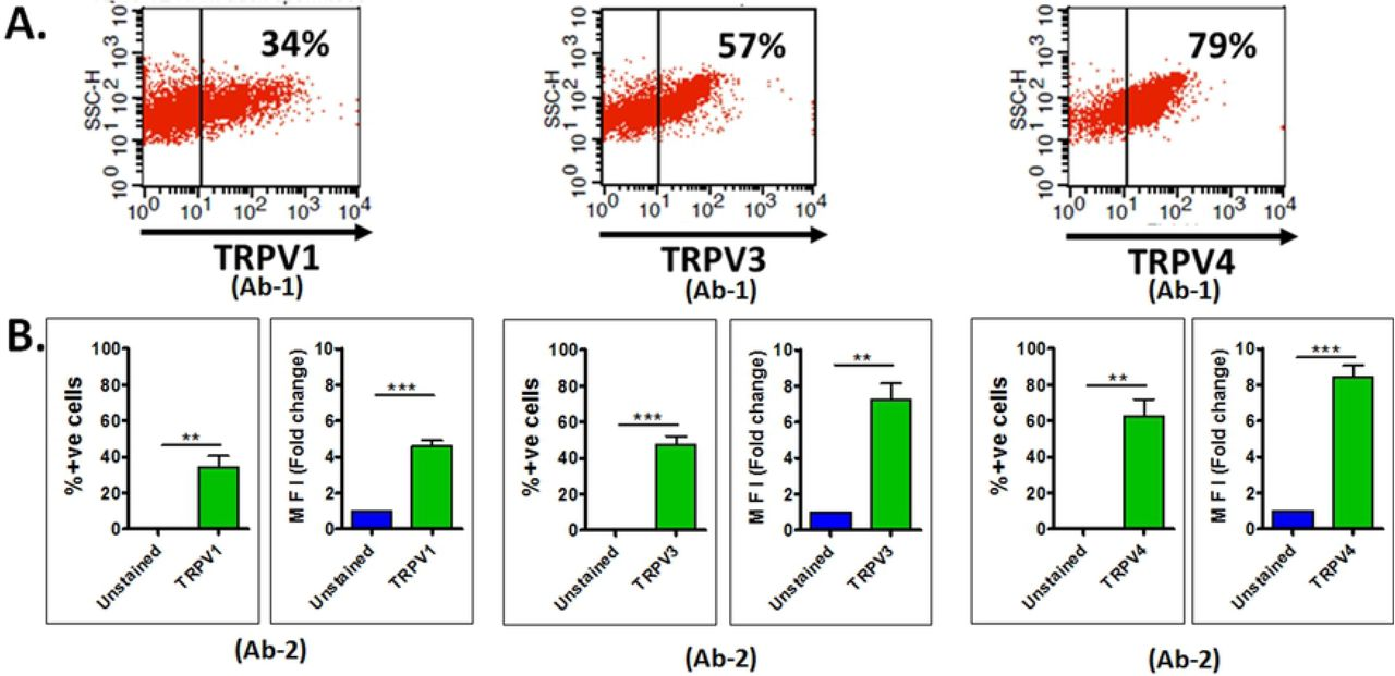 Prevalence of physiologically relevant thermosensitive TRPV channels in mature duck sperm. Flow cytometric evaluation of duck sperm stained for physiologically relevant thermosensitive TRPV channels are shown. A. Representative dot-plots showing percentage of cells expressing TRPV1, TRPV3, TRPV4 channels detected by Ab-1 (antibodies from Alomone labs) antibody specific for each TRPV channel. B. Histograms showing percentage of cells expressing TRPV channels and corresponding Mean Fluorescence Intensity (MFI) of TRPV channels detected by Ab2 antibody of each channel (from Sigma Aldrich), expressed as fold change in comparison to MFI of unstained cells. n = 3, unpaired T-test. ** = P