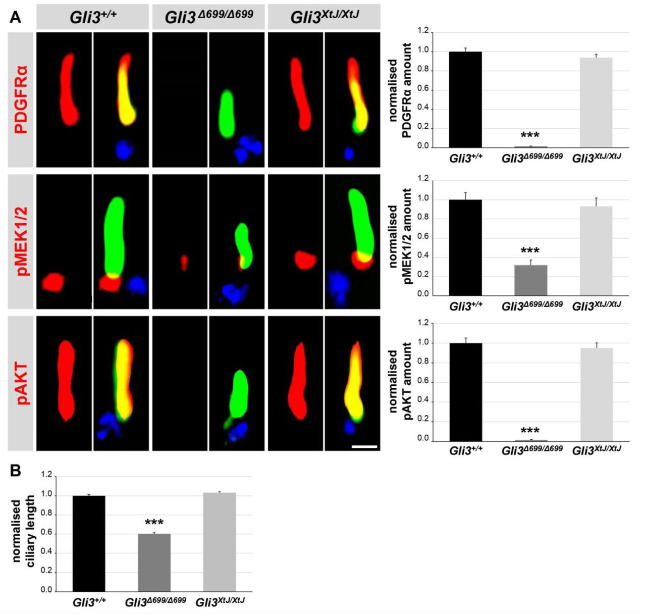 Reduced PDGFRα signalling and ciliary length in Gli3 Δ699/Δ699 hearts. (A) Immunofluorescence on heart sections obtained from WT (n=12), Gli3 Δ699/Δ699 (n=8) and Gli3 XtJ/XtJ (n=12) embryos at E12.5. The ciliary axoneme is stained in green by acetylated α-tubulin, the basal body is stained in blue by γ-tubulin. The scale bar represents a length of 0.5 µm. (B) Ciliary length measurement on mouse embryonic heart sections obtained from WT, Gli3 Δ699/Δ699 and Gli3 XtJ/XtJ (n = 4, respectively) embryos at E12.5.