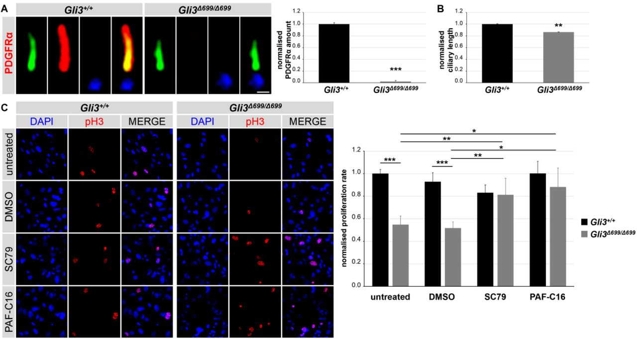 PDGFRα signalling activators rescue proliferation rate in Gli3 Δ699/Δ699 MEFs. (A-C) Immunofluorescence on and ciliary length quantifications in MEFs obtained from WT and Gli3 Δ699/Δ699 (n = 4, respectively) embryos at E12.5. (A) The ciliary axoneme is stained in green by acetylated α-tubulin, the basal body is stained in blue by γ-tubulin. The amount of PDGFRα is significantly reduced in cilia of Gli3 Δ699/Δ699 MEFs. The scale bar represents a length of 0.5 µm. (B) Ciliary length measurement. (C) Proliferating cells are marked by pH3. Cell nuclei are marked by DAPI.