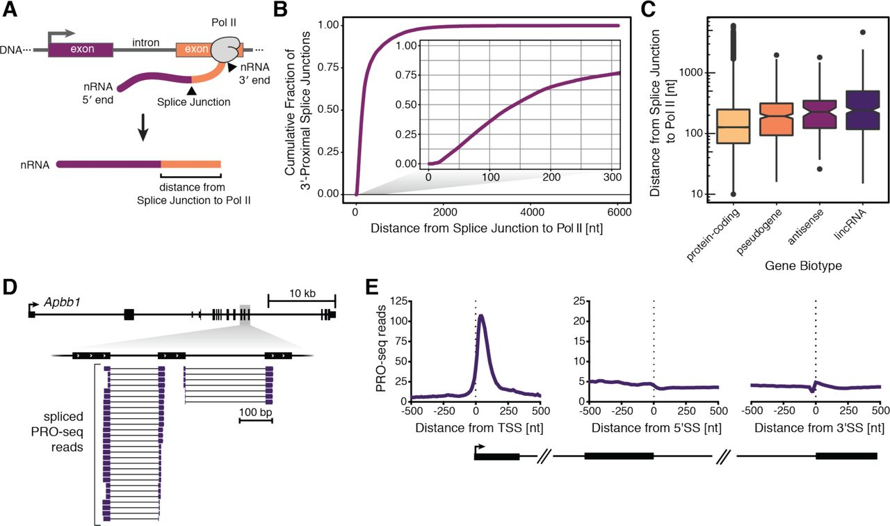 Splicing can occur when elongating Pol II is just downstream of a newly transcribed 3 ′ splice site (A) Schematic defining the distance from the 3′ end of a nascent RNA (nRNA) to the most 3′-proximal splice junction. 3′ end sequence reports the position of Pol II when nascent RNA was isolated. (B) Distance (nt) from the 3′-most splice junction to Pol II position is shown as a cumulative fraction. Inset is a zoom in on the first 300 nt past the 3′SS (n = 184,456 observations). (C) Distance (nt) from the 3′-most splice junction to Pol II position is shown categorized by gene biotype (n = 108,280 protein-coding genes, 440 pseudogenes, 90 antisense genes, 350 lincRNA genes). For (B) and (C) , data represent two biological replicates and two technical replicates in uninduced and induced cells combined. (D) Genome browser view showing spliced PRO-seq reads aligned to the Apbb1 gene, where 3′ ends of reads represent the position of elongating Pol II. Only spliced reads, filtered from all reads, are shown. (E) PRO-seq 3′ end coverage is shown aligned to active transcription start sites (TSS), 5′ splice sites (5′SS), and 3′ splice sites (3′SS). For (D) and (E) , data represent three biological replicates for uninduced and induced cells combined. See also Figure S4 .