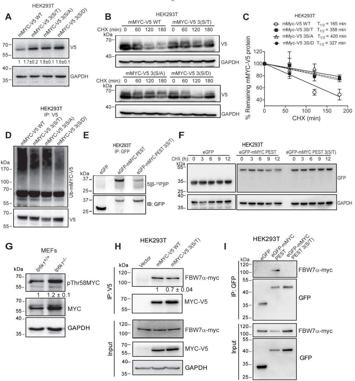 PEST domain pyrophosphorylation promotes F-box protein FBW7α binding and polyubiquitination of MYC. (A) Full-length mMYC-V5 protein and its mutant forms were transiently expressed in HEK293T cells. Numbers show mean fold change±SEM in expression level of individual mutants over the native protein (N=3). ( B, C ) Representative immunoblot for half-life measurement of mMYC-V5 forms. Cells were treated with 250 µg/mL CHX for the indicated time, and half-life was determined as described in Fig. 1C (N=3). ( D ) mMYC-V5 WT and its mutant forms were transiently expressed in HEK293T cells and treated as in Fig 1D , immunoprecipitated with anti-V5 antibody and immunoblotted with an anti-ubiquitin antibody (Ub-mMYC-V5) or anti-V5 antibody (N=3). ( E ) eGFP fused C-terminally with native or 3(S/T) mutant form of mMYC PEST domain (aa 202-268) was transiently expressed in HEK293T cells, immunoprecipitated, incubated with 5[β- 32 P]IP 7 , resolved by NuPAGE, and transferred to a PVDF membrane, as described in Fig. 2A . Representative images show autoradiography to determine pyrophosphorylation (top) and immunoblotting with a GFP antibody (bottom) (N=2). ( F ) Representative immunoblots to assess the stability of eGFP, eGFP-mMYC PEST, or eGFP-mMYC PEST 3(S/T). HEK293T cells transiently expressing the different forms of eGFP were treated with 100 µg/mL cycloheximide (CHX) for the indicated time, lysed and immunoblotted to detect eGFP. GAPDH levels were monitored as a loading control (N=3). (G) Representative immunoblot showing the extent of phosphorylation at Thr58 and expression levels of endogenous MYC in Ip6k1 +/+ and Ip6k1 −/− MEFs. Numbers show mean fold change±SEM in Thr58 phosphorylation normalized to MYC levels in Ip6k1 −/− over Ip6k1 +/+ (N=3). (H) Representative immunoblots of interaction between mMYC and FBW7α. mMYC-V5 WT and pyrophosphorylation-deficient mutant mMYC-V5 3(S/T) were transiently co-expressed with c-Myc epitope-tagged FBW7α in HEK293T cells, immunoprecipitated with anti-V5 antibody, and probed to detect c-Myc epitope. The level of coimmunoprecipitated FBW7α was normalized to the level of immunoprecipitated MYC. Numbers show mean fold change±SEM in the extent of coimmunoprecipitation of FBW7α with 3(S/T) MYC compared with WT MYC (N=3) ( I ) Representative immunoblots of FBW7α interaction with eGFP fused with mMYC PEST domain. eGFP-mMYC PEST or eGFP-mMYC PEST 3(S/T) were transiently co-expressed with c-Myc epitope tagged FBW7α in HEK293T cells, immunoprecipitated with anti-GFP antibody, and probed to detect c-Myc epitope. No coimmunoprecipitation of FBW7α was detected with eGFP fused with pyrophosphorylation-deficient mMYC PEST 3(S/T) (N=3).