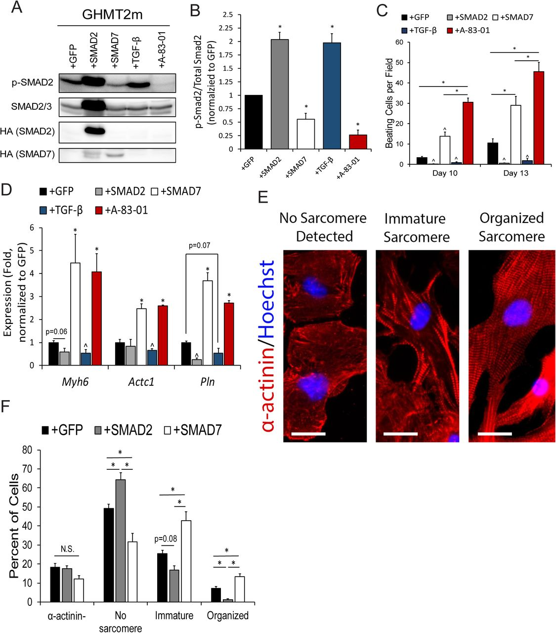 Activation of Canonical TGF-β signaling impairs cardiac reprogramming A and B) Immunoblot (A) and quantification (B) of phosphorylated SMAD2 (p-SMAD2) normalized to Total SMAD2 from whole cell extracts of Day 12 GHMT2m-reprogrammed cells co-infected with GFP, SMAD2, or SMAD7, or treated with 5 ng/mL TGF-β1 or 0.5 µM A-83-01. N = 3 per group. C) Beating cell counts per field (0.89 mm 2 ) from Day 10 and Day 13 GHMT2m-reprogrammed cells co-infected with GFP, SMAD2, or SMAD7, or treated with 5 ng/mL TGF-β1 or 0.5 µM A-83-01. N = 3 per group. D) Messenger RNA expression of cardiac genes Myh6 , Actc1 , and Pln harvested from Day 13 GHMT2m-reprogrammed MEFs co-infected with GFP, SMAD2, or SMAD7, or treated with 5 ng/mL TGF-β1 or 0.5 µM A-83-01. All data were normalized to the GFP group. N = 3 per group. Representative fluorescent images of indicated levels of sarcomere organization in Day 9 GHMT2m-reprogrammed MEFs. Red: α-actinin; Blue: Hoechst. Scale bar = 25 µM. E) Quantification of sarcomere organization in Day 9 GHMT2m-reprogrammed MEFs co-infected with GFP, SMAD2, or SMAD7. 10 fields of view per dish were collected across 3 individual experiments per group to analyze sarcomere organization. All data shown as mean ± SEM. * p