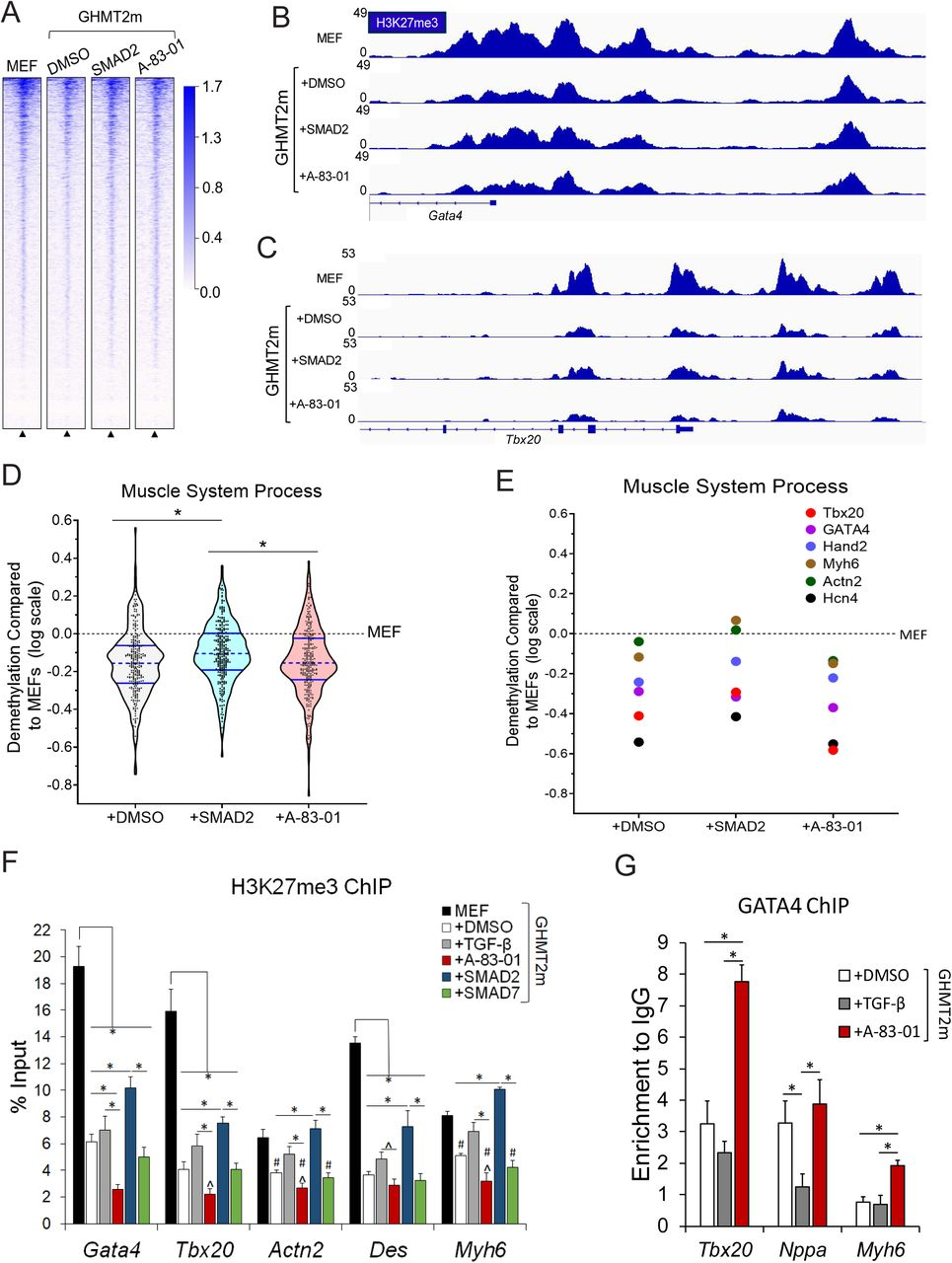 <t>TGF-β</t> signaling impairs demethylation of H3K27me3 and recruitment of GATA4 to target genes A) Global ChIP-seq density heatmap of H3K27me3 in Day 7 GHMT2m-reprogrammed cells with indicated TGF-β pathway manipulation and undifferentiated MEFs at ± 2kb from annotated transcription start sites (TSS). B and C) Representative IGV tracks depicting H3K27me3 intensity at Gata4 (B) and Tbx20 (C) promoters from Day 7 GHMT2m-reprogrammed cells with indicated TGF-β pathway manipulation and undifferentiated MEFs. D and E) Logarithmic transformation of H3K27me3 levels in relation to undifferentiated MEFs at ± 2kb from the annotated TSS of genes within the Muscle System Process Gene Ontology pathway (GO:0003012) that were also upregulated > 2 fold in GHMT2m + A-83-01 reprogrammed cells compared to undifferentiated MEFs as identified by RNA-seq (D) and at candidate cardiac genes selected from GO:0003012 (E). F) H3K27me3 levels at cardiac gene promoters Gata4, Tbx20, Actn2, Des, and Myh6 from Day 7 GHMT2m-reprogrammed cells co-infected with GFP, SMAD2, or SMAD7 or treated with <t>DMSO,</t> 5 ng/mL TGF-β1, or 0.5 µM A-83-01 analyzed by ChIP-qPCR. Undifferentiated MEFs served as a positive control for H3K27me3 levels. Data are presented as percentage of input. N=4 for MEFs, N=6 for GHMT2m + GFP + DMSO, N=6 for GHMT2m + GFP + TGF-β1, N=5 for GHMT2m + GFP + A-83-01, N=4 for GHMT2m + SMAD2, and N=5 for GHMT2m + SMAD7. G) GATA4 levels at cardiac gene promoters Nppa, Tbx20, and Myh6 from Day 5 GHMT2m-reprogrammed cells treated with DMSO, 5 ng/mL TGF-β1, or 0.5 µM A-83-01 analyzed by ChIP-qPCR. Data are presented as enrichment to IgG control. N=5 for GHMT2m + DMSO, N=4 for GHMT2m + TGF-β1, N=5 for GHMT2m + A-83-01. All data shown as mean ± SEM. *, # p