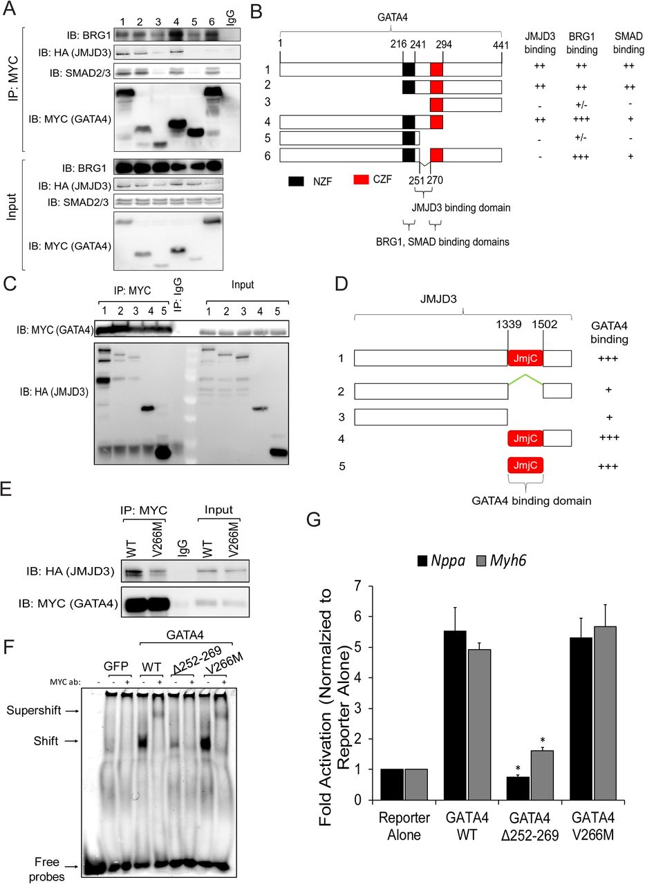 GATA4, JMJD3, and BRG1 form a large epigenetic complex which is disrupted by canonical TGF-β signaling A and B) Co-IPs using nuclear lysates harvested from HEK293T cells transfected with MYC-GHMT and HA-JMJD3. Following Co-IP with anti-MYC (A) or anti-HA (B), proteins were resolved by SDS-PAGE and immunoblotted for BRG1, HA, MYC and SMAD2/3. C) Co-IPs using nuclear lysates harvested from HEK293T cells co-transfected with MYC-GATA4 and either β-GAL (control) or HA-JMJD3. Following Co-IP with anti-MYC, proteins were resolved by SDS-PAGE and immunoblotted for BRG1, HA, and MYC. D) Co-IPs using nuclear lysates harvested from HEK293Ts co-transfected with HA-JMJD3, MYC-GATA4, and GFP, SMAD2, or SMAD7. Following Co-IP with anti-MYC, lysates were resolved by SDS-PAGE and immunoblotted for BRG1, HA, SMAD2/3, and MYC. E) Quantification of interactions between GATA4 and JMJD3 or BRG1 shown in panel D. N=3 per group. F) Luciferase reporter assay performed in HEK293Ts co-transfected with Myh6 promoter vector, Renilla vector, GHMT, pCMV-HA (empty vector control) or HA-JMJD3, and shGFP or sh Smarca4 (BRG1). Reporter activation was determined as a ratio of firefly luciferase to Renilla luciferase and normalized to HEK293Ts transfected with Myh6 promoter vector, Renilla vector, and pCMV-HA alone. N=3 per group. G) Luciferase reporter assay performed in HEK293Ts co-transfected with Myh6 promoter vector, Renilla vector, GHMT, HA-JMJD3, and GFP, SMAD2, or SMAD7. Reporter activation was determined as a ratio of firefly luciferase to Renilla luciferase and normalized to the GFP group. N=3 per group. All data shown as mean ± SEM. * p