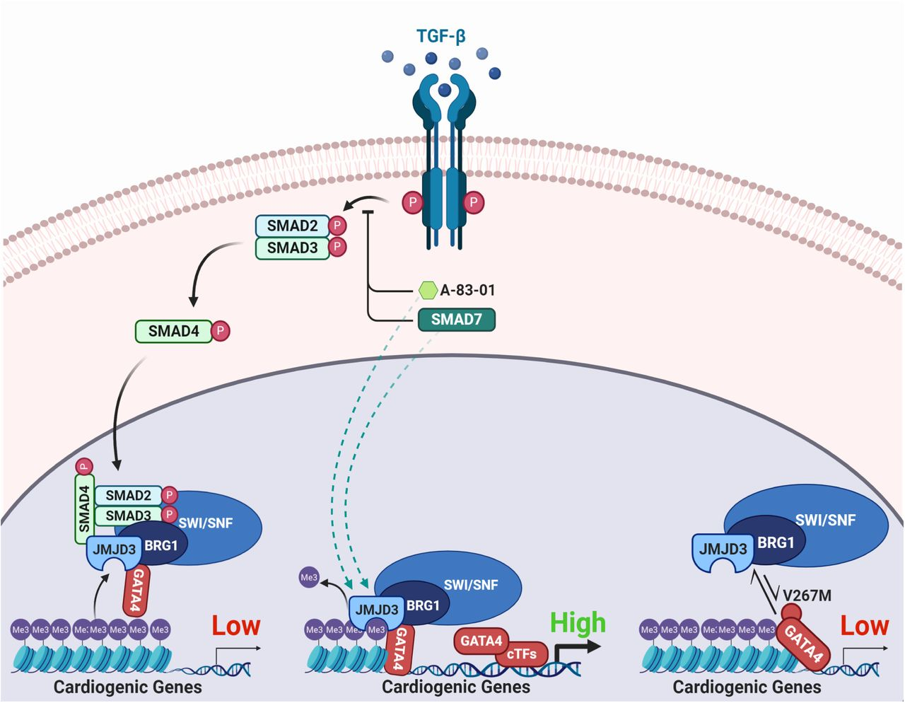 Recruitment mechanisms of epigenetic modifiers to cardiogenic genes by GATA4. Schematic summary of the regulation of interactions between GATA4 and epigenetic modifiers. Canonical TGF-β pathway activation or the congenital heart disease-associated mutation in GATA4 (V267M) impede the recruitment of epigenetic modifiers JMJD3 and BRG1 to cardiogenic genes by GATA4, resulting in impaired H3K27me3 demethylation and gene expression in cardiomyogenesis. TGF-β blockade prevents nuclear translocation of the SMAD2/3/4 complex, promoting the recruitment of epigenetic modifiers to cardiogenic genes by GATA4 resulting in efficient removal of H3K27me3 and gene expression.