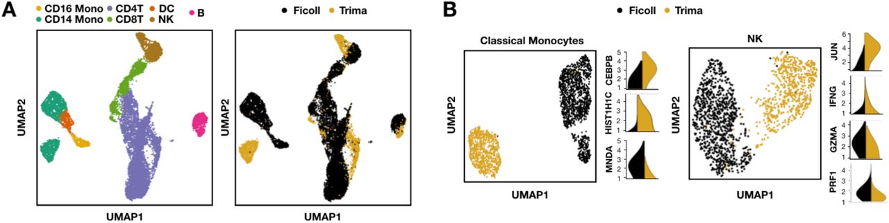 Trima-associated gene expression signatures (A) Identification of gene expression patterns across all PBMC cell-types (left) linked to method of PBMC isolation (e.g., Ficoll or Trima; right). n = 15,340 cells. (B) Identification of Trima-specific marker genes in classical monocytes (left) and NK cells (right). n = 2,303 classical monocytes, n = 1,545 NK cells. Marker gene expression values are depicted as log1p-normalized counts.