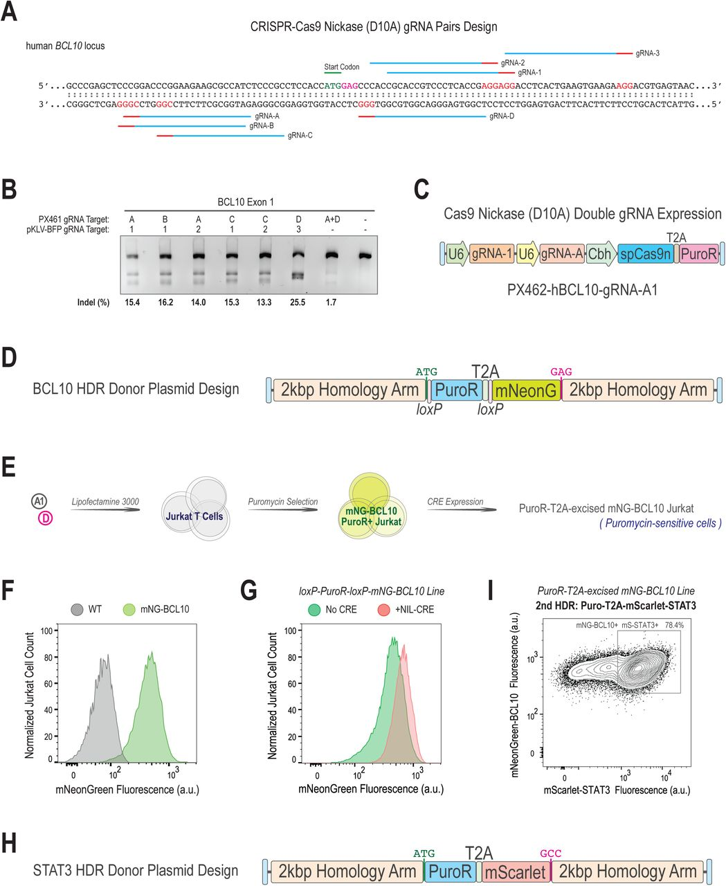 CRE-loxP excision strategy minimizes genomic footprint of the PuroR selection cassette and allows for multiple rounds of genome editing. (A) Cas9 nickase gRNA pair design targeting the human BCL10 locus. (B) T7EN assay for locus-specific editing in HEK293T cells. (C) Double gRNAs and Cas9-D10A nickase expression plasmid derived from the PX462 backbone. (D) BCL10 HDR donor plasmid design. (E) Strategy for creating puromycin-selected Jurkat T cells with post-selection excision of the Puro-T2A cassette. (F)(G) mNeonGreen expression by puromycin-selected mNG-BCL10 knock-in Jurkat line with or without NIL-CRE treatment. (H) Modified STAT3 HDR donor plasmid. (I) mNeonGreen and mScarlet co-expression by puromycin-selected mScarlet-STAT3/mNG-BCL10 double knock-in Jurkat line.