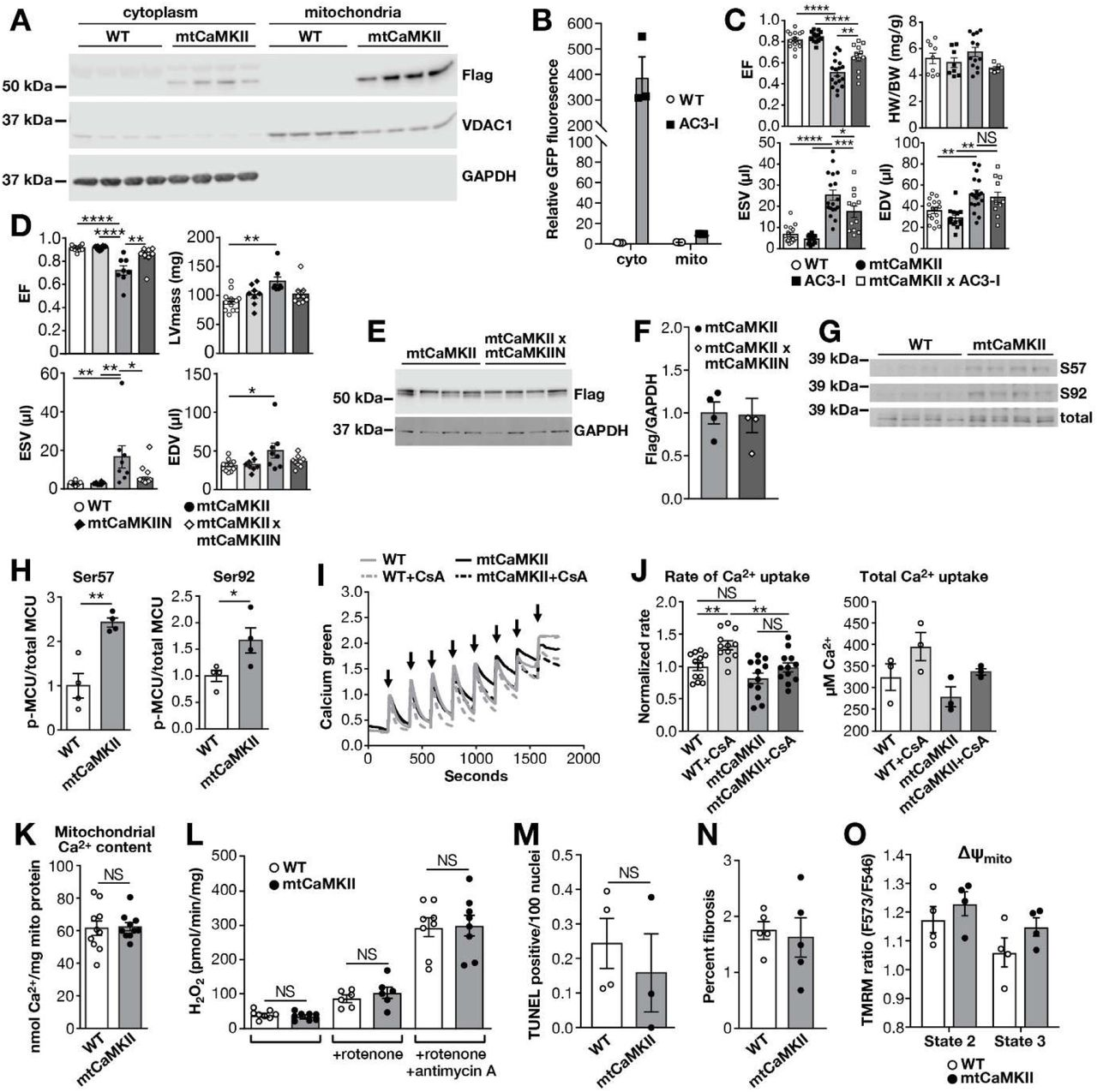 Dilated cardiomyopathy in mtCaMKII mice is independent of extramitochondrial CaMKII, MCU phosphorylation, mitochondrial Ca 2+ , ROS, and ΔΨ mito (A) Western blot for flag-CaMKII, VDAC1 and GAPDH in cytoplasm and mitochondria fractions from WT (n=4) and mtCaMKII hearts (n=4) (B) Quantification AC3-I-GFP fusion protein expression in cytoplasm and mitochondria from WT and AC3-I mouse hearts (n=3). (C) Summary data for echocardiographic measurements from WT (n=16), AC3-I (n=13), mtCaMKII (n=18), and mtCaMKII x AC3-I (n=12) mice. (D) Summarized echocardiographic measurement data from WT (n=12), mtCaMKIIN (n=8), mtCaMKII (n=10), and mtCaMKII x mtCaMKIIN (n=10) mice. (E) Western blot and (F) summary data for flag-CaMKII normalized to GAPDH in mtCaMKII (n=4) and mtCaMKII x mtCaMKIIN (n=4) hearts. (G) Western blot and (H) summary data for phosphorylated MCU normalized to total MCU for WT (n=4) and mtCaMKII (n=4) mitochondria. (I) Mitochondrial Ca 2+ uptake assay with cell membrane permeabilized adult ventricular myocytes from WT (n=3) and mtCaMKII (n=3) mice; arrows indicate addition of Ca 2+ . (J) Rate of Ca 2+ uptake calculated from the first 3 peaks of Ca 2+ addition and total Ca 2+ uptake before mPTP opening. (K) Total mitochondrial Ca 2+ content normalized to total protein in isolated mitochondria from WT (n=10) and mtCaMKII (n=10) hearts. (L) H2O2 production measured by Amplex Red in isolated mitochondria from WT (n=8) and mtCaMKII (n=8) hearts. (M) Quantification of TUNEL positive nuclei from heart sections of WT (5 sections from n=4 hearts) and mtCaMKII (5 sections from n=3 hearts) mice. (N) Quantification of fibrosis by Masson's Trichrome staining from WT (6 sections from n=3 hearts) and mtCaMKII (6 sections from n=3 hearts) heart sections. (O) Mitochondrial membrane potential (ΔΨ mito ) measured with TMRM under state 2 (substrate alone) and state 3 (substrate plus ADP) respiration in isolated mitochondria from WT (n=4) and mtCaMKII (n=4) hearts. (Data are represent