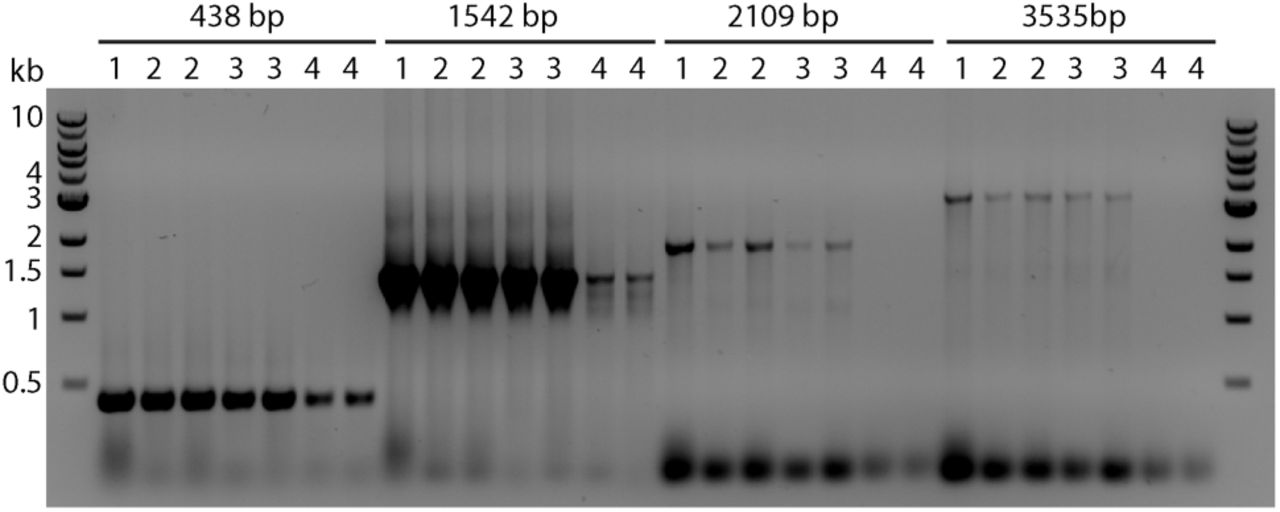 PCR analysis of DNA extracts prepared using the standard Edwards protocol (1), the one-tube protocol (2 and 3) and the one-step protocol of Kasajima et al (4). Two independent DNA extracts from (2) to (4) are shown; DNA extracts of (3) were stored at room temperature for three months.