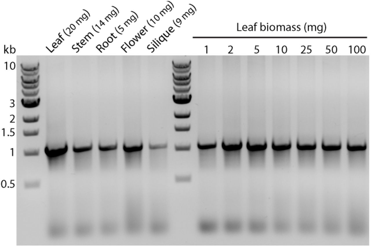 DNA extracts using the one-tube protocol from various Arabidopsis tissues and leaf biomass have negligible inhibitory effect on PCR analysis. For leaf biomass and size comparison, 1-2 mg is approximately equivalent to one cotyledon; 5 mg is equivalent to the leaf mass excised using the inner cap of a 1.5 ml microcentrifuge tube; 25-50 mg is equivalent to one single fully developed rosette leaf.