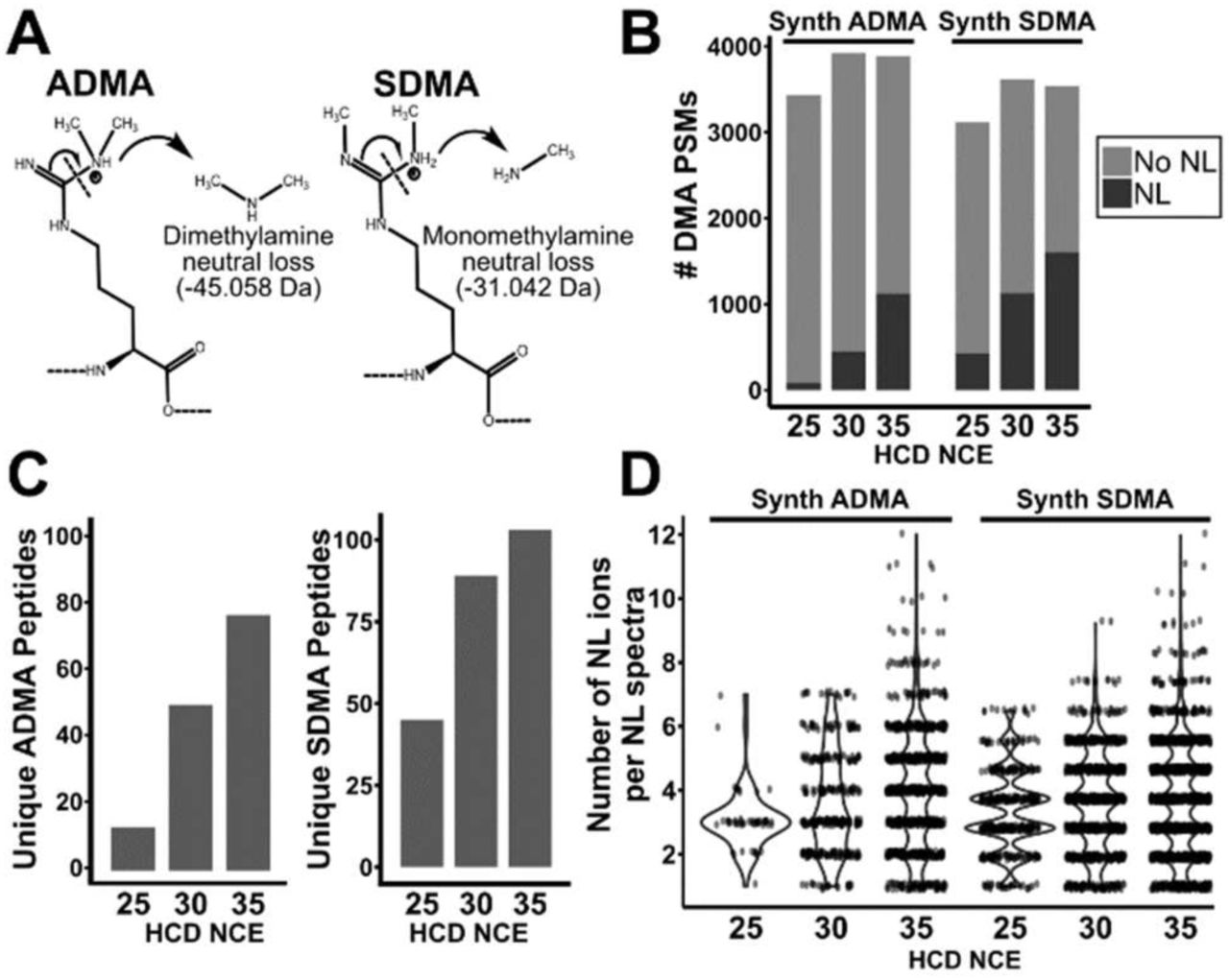 Higher NCE improves generation of NL ions in synthetic ADMA and SDMA peptides. A) Mechanism of neutral loss of dimethylamine and monomethylamine from ADMA and SDMA, respectively. B) Total number of DMA PSMs from a dataset of synthetic ADMA and SDMA peptides. The proportion of PSMs displaying either an ADMA or SDMA neutral loss in the HCD cell of an Orbitrap Fusion Lumos are shown for each NCE. C) Total number of unique peptides with assignable ADMA or SDMA neutral loss for each NCE. D) Violin plot of the number of NL ions present in DMA PSMs for each NCE. Each point represents a PSM with a corresponding number of NL ions observed in that spectra.