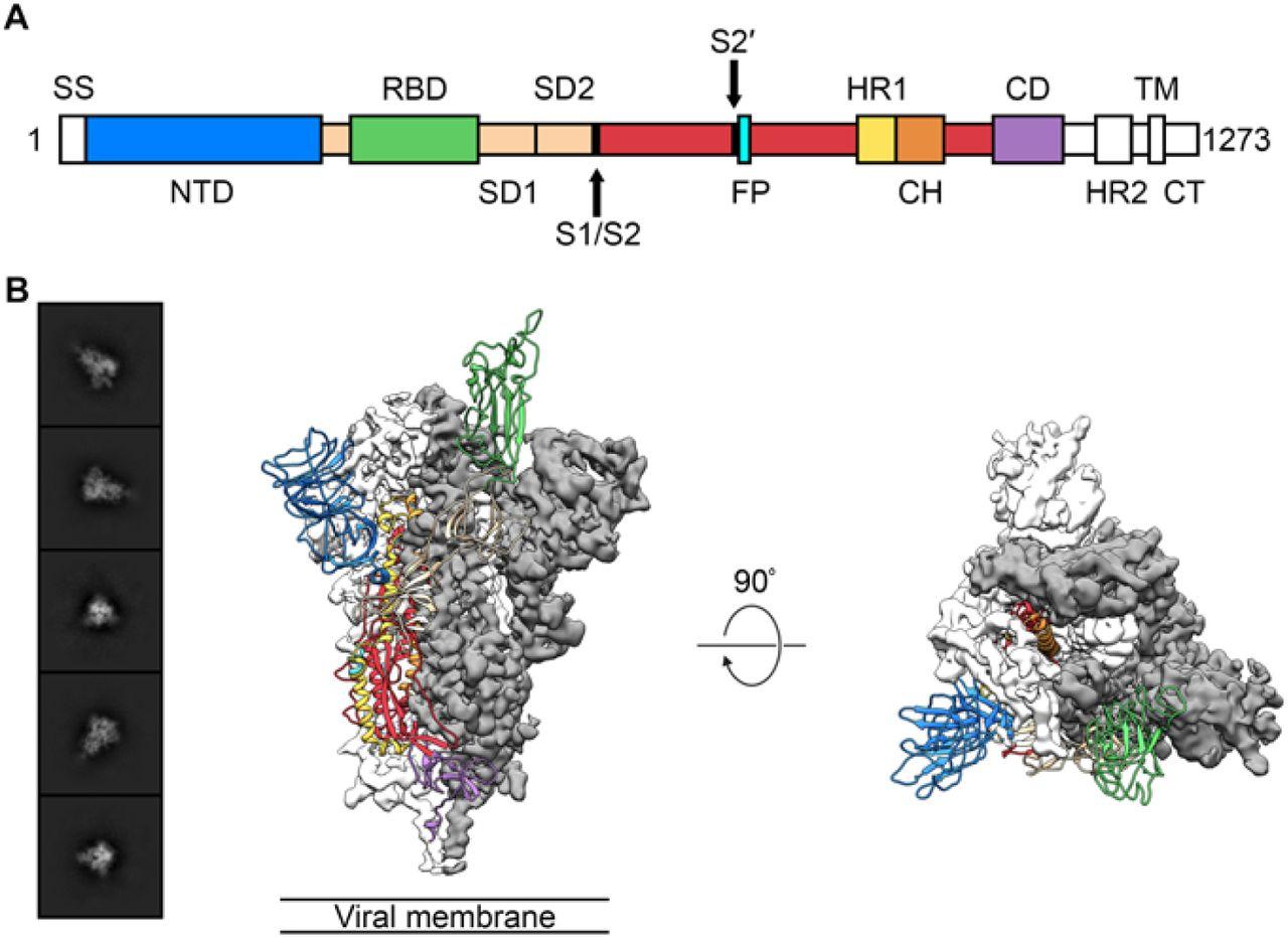 coronavirus s protein structure