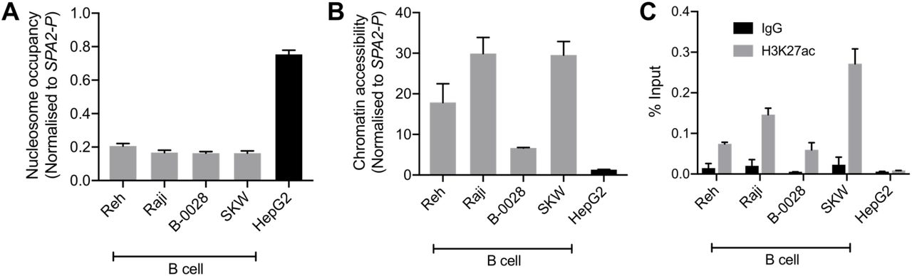 BEN-2 shows B cell-specific <t>nucleosome</t> occupancy, chromatin accessibility and enrichment for the H3K27ac active enhancer histone mark across a panel of B cell lines. A. Nucleosome occupancy at BEN-2 as measured by ChART-PCR with <t>MNase</t> digestion. Data was normalised to the inaccessible SFTPA2 gene promoter such that a value of 1.0 represents fully compacted nucleosomes, and lower values indicate less compacted nucleosomes. B. Chromatin accessibility at BEN-2 as measured by ChART-PCR with DNase I digestion. Data have been normalised to the inaccessible SFTPA2 gene promoter. C. H3K27ac enrichment at BEN-2 as determined by ChIP-qPCR using the percent input method. Grey bars indicate H3K27ac enrichment at the target locus, and black bars show enrichment using a non-specific IgG control antibody. All data are presented as mean ± SEM from at least 3 biological replicates.