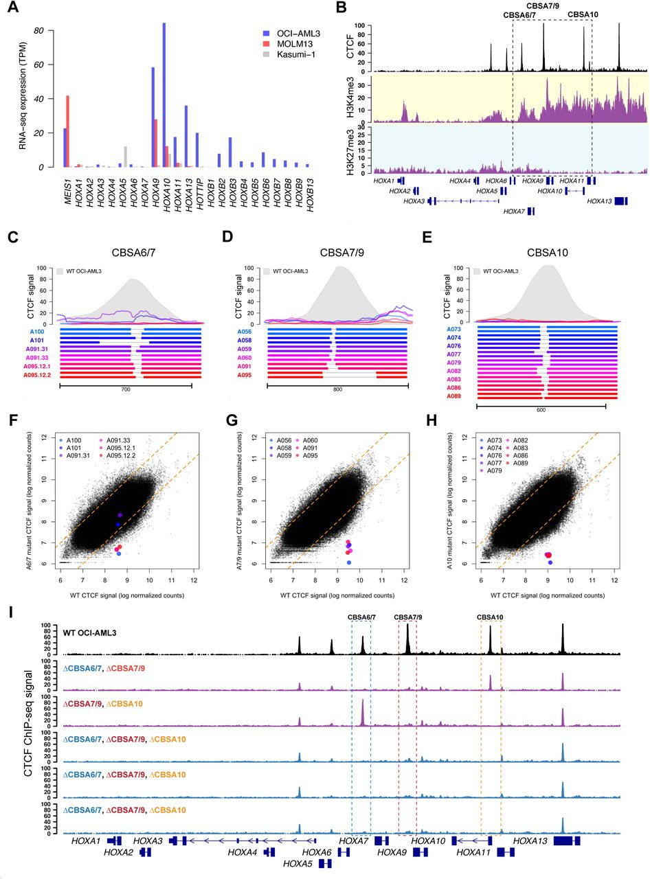 Targeted deletions eliminate CTCF binding in the NPM1 -mutant OCI-AML3 cell line. A. RNA-seq expression of HOXA and HOXB genes in OCI-AML3 cells, which display the canonical mutant NPM1 -associated HOXA/HOXB expression phenotype. Also shown are the MLL -rearranged MOLM13 cell line that expresses only HOXA genes, and the RUNX1-RUNX1T1 -containing Kasumi-1 cell line that has low HOXA and HOXB gene expression. B. ChIP-seq data from OCI-AML3 cells for CTCF (black), H3K4me3 (highlighted in yellow) and H3K27me3 (highlighted in blue), which show conserved CTCF binding sites and distinct regions of active (H3K4me3) and repressed (H3K27me3) chromatin. C-E. Targeted deletions that disrupt CTCF binding in OCI-AML3 cells at sites CBSA6/7 (in C), CBSA7/9 (in D), and CBSA10 (in E). Bottom panels show allele pairs from homozygous or compound heterozygous deletion mutants at each site; top panels show CTCF ChIP-seq signal from these mutant cell lines (multi-colored lines) compared to wild type OCI-AML3 cells (in gray). F-H. Normalized CTCF ChIP-seq for all CTCF peaks from deletion mutants (Y axis) vs. wild type OCI-AML3 cells, showing dramatically reduced CTCF ChIP-seq signal in deletion mutants at all three sites, with the exception of clones A101 and A091.31, which only partially eliminates CTCF signal at site CBSA6/7. I. CTCF ChIP-seq tracks from double (in purple) and triple mutants (in blue), generated via sequential targeted deletion experiments. CTCF ChIP-seq from wild type OCI-AML3 cells is shown in black at the top for reference.