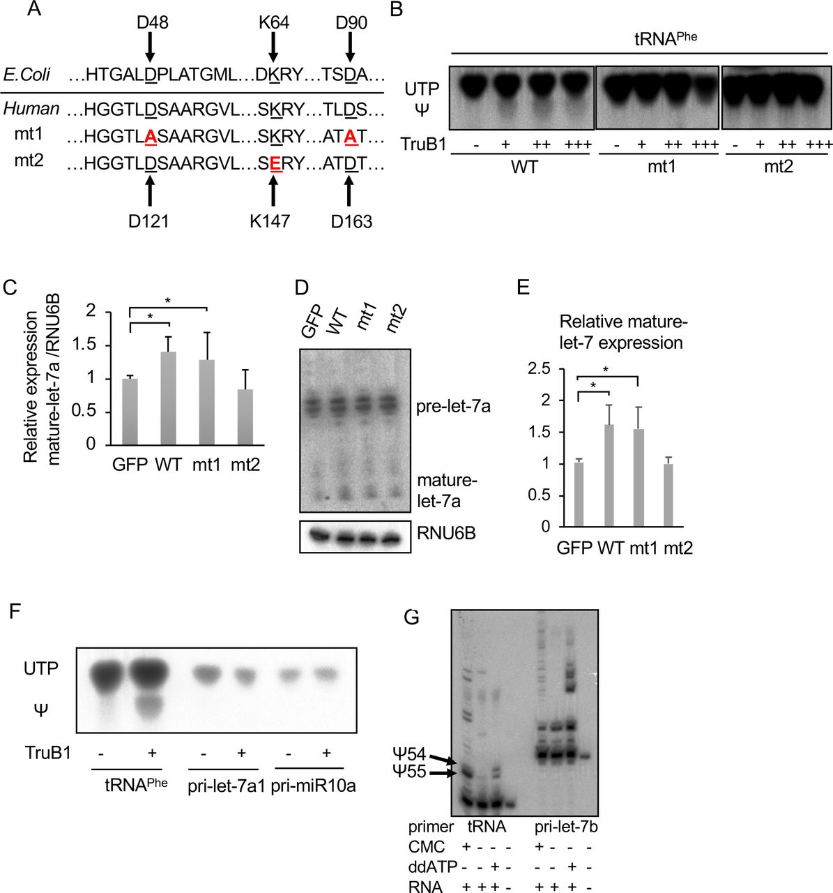 TruB1 promotes let-7 processing independently of its enzymatic activity. (A). Amino acid sequences encoding for the enzyme activity and RNA binding ability in E.coli TruB and human TruB1 (Top). Design of mutant 1 (mt1) and mutant 2 (mt2) (bottom). (B). In vitro enzyme activity assay. 32 p-UTP-labelled tRNA phe were treated with recombinant TruB1, mt1, or mt2. The strong upper bands represent UTP, and the lower weaker bands represent pseudouridine (Ψ) on autoradiographs of the TLC plate. (C). Relative miRNA expression of let-7a in HEK-293 cells infected with tetracycline-inducible expressing lentiviruses for TruB1, mt1, mt2 or GFP 5 days after doxycycline treatment, as determined by qRT-PCR. (D). Northern blotting for let-7a and RNU6B in HEK-293 cells infected with lentiviruses encoding tetracycline-inducible expression of TruB1, mt1, mt2, or GFP, 5 days after doxycycline treatment. (E). Hybridization intensities of (D) were quantified and normalized to ctrl (GFP). (F). Pseudouridylation activity of TruB1 for tRNA and pri-miRNAs. 32 p-UTP-labelled tRNA phe , pri-let-7a1 or pri-miR10a were treated with recombinant TruB1. Upper bands represent UTP, lower bands represent pseudouridine (Ψ) in autoradiographs of the TLC plate. (G). Location of pseudouridine sites detected by the CMC primer extension method. Total RNA purified from HEK-293FT cells were treated with CMC. CMC treated RNA were reverse-transcribed with RI-labelled specific primers for tRNA phe or pri-let-7b. ddATP was used for sequence control. Pseudouridines are indicated by black arrows. All experiments were performed in triplicate. Error bars show SD; n=3.