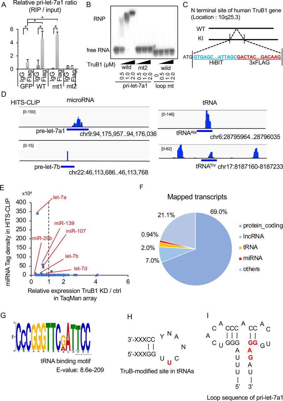 TruB1 binds to tRNA and primary-let-7 (A). RIP analysis of pri-let-7a1 and Flag-TruB1 from HEK-293FT cells. RNA was extracted from IP material and analyzed by qRT-PCR. HEK-293FT cells were infected with lentiviruses encoding tetracycline-inducible expression of TruB1, mt1, mt2, or GFP and treated with doxycycline. Error bars show SD; n=3. (B). EMSA of 32 p-ATP-labelled pri-let-7a1 or pri-let-7a1 loop mt mixed with recombinant TruB1, mt1 or mt2 at several doses. RNP: Ribonucleoprotein complexes. (C). Design of Flag-labelled TruB1 knock-in (KI) cells. HiBIT and 3 x Flag sequences were inserted into the N-terminus of the TruB1 gene in HEK-293FT cells. (D) Sequencing clusters obtained from HITS-CLIP experiment. Left are for let-7, and right for tRNAs. (E). Tag densities represented as dots. Density of miRNA clusters in HITS-CLIP were normalized by miRNA expression as determined by TaqMan array. (F). The proportions of different types of mapped transcripts from the HITS-CLIP experiment. (G). Sequence motifs from reads mapped to tRNAs from the HITS-CLIP experiment. (H). TruB-modified site in tRNAs. Location of pseudouridine is colored in red. (I). Sequence of the terminal loop in pri-let-7a1. Lin28B binding site is colored in red.