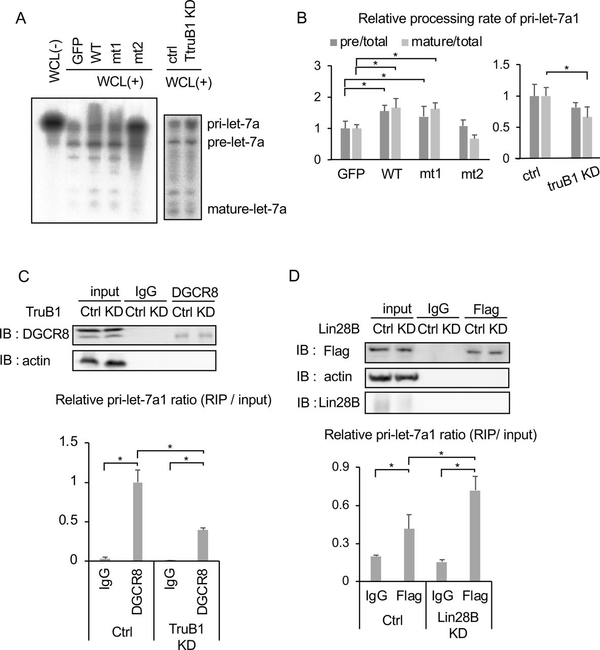 TruB1 promotes the microprocessing of primary let-7 and enhances binding of the microprocesser to primary let-7 (A). In vitro processing assay for RI-labelled pri-let-7a1. Autoradiographs of gels showing pri-let-7a1 treated with whole cell lysate (WCL) from HEK-293FT cells transfected with GFP, TruB1, mt1, or mt2 (overexpression, left), and TruB1 KD or ctrl (siRNA, right). (A). RI intensities of (B) were quantified and normalized to ctrl. Relative processing rate of pri-let-7a1 into pre- and mature- are shown. (C). RIP assay of pri-let-7a1 and DGCR-8 from HEK-293FT cells. Western blotting for input or immunoprecipitate (IP) using anti-DGCR-8 antibody and anti-actin antibody are shown on top. RNA was extracted from IP material and analyzed by qRT-PCR (bottom). (D). RIP assay of pri-let-7a1 and TruB1 from HEK-293FT cells with Lin28B KD or ctrl (siRNA). Western blotting for input or IP material using anti-Flag antibody, anti-Lin28B antibody, and anti-actin antibody are shown on top. RNA was extracted from IP material and analyzed by qRT-PCR (bottom). All experiments were performed in triplicate. Error bars show SD; n=3.