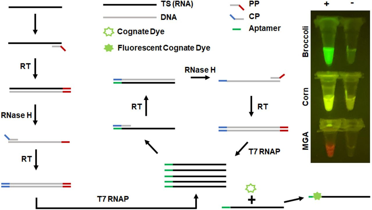 Apta-NASBA reaction. Schematic of the reaction. 1) Promoter-containing primer ( PP ) binds the amplicon of interest. Reverse transcriptase ( RT ) extends PP , generating a DNA-RNA hybrid comprised of the amplicon target sequence ( TS ) and an antisense DNA copy of the amplicon with an overhang containing the T7 RNA polymerase (T7 RNAP) promoter. <t>RNase</t> H degrades the original amplicon RNA of interest. Coding primer ( CP ) binds. RT extends CP , generating a DNA duplex corresponding to the amplicon, with a T7 RNAP promoter (red) and an aptamer coding sequence (blue). T7 RNAP generates an RNA fusion construct that contains the sequence antisense to TS , fused at the 3′ end with the aptamer corresponding to the sequence in CP (green). CP binds this RNA, which again enters the RT-RNase H-T7 RNAP cycle. At each step, RNA is generated with multiple turnover, enabling exponential amplification. Images on the right are representative Apta-NASBA reactions using aptamers that span the fluorescent spectrum.