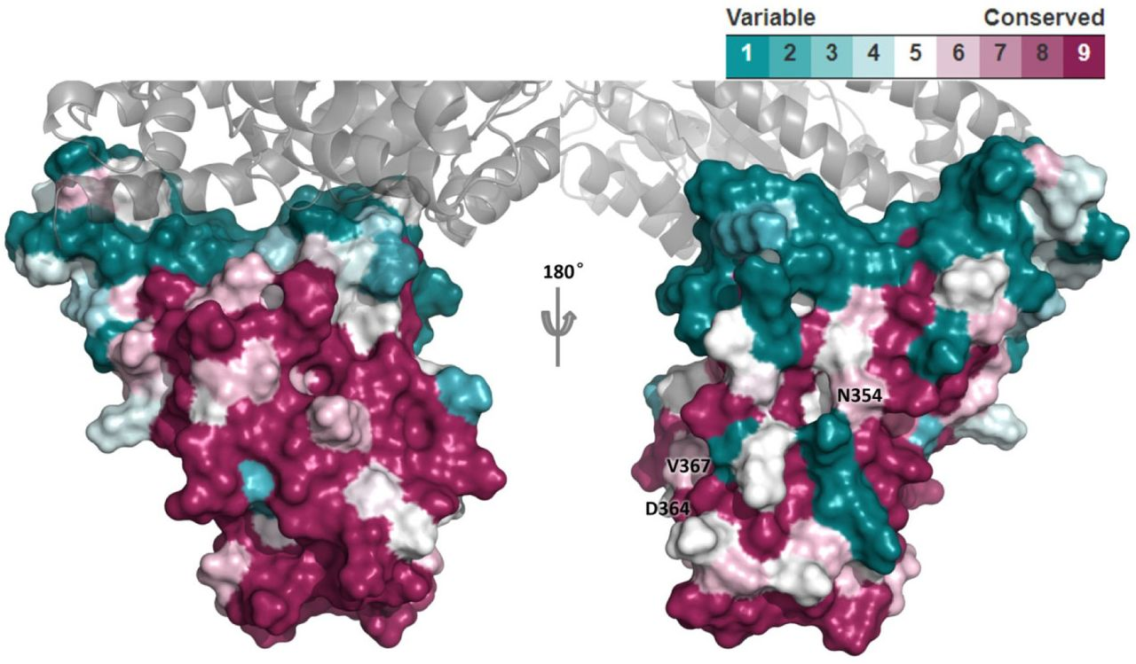 Structural conservation of SARS-CoV RBD. RBD is shown as colored surface. ACE2 is shown as gray cartoon. The three surface mutation sites (i.e. N354D, D364Y, and V367F) observed in <t>SARS-CoV-2</t> RBD are labeled. Mutation F342L is buried and not shown here.