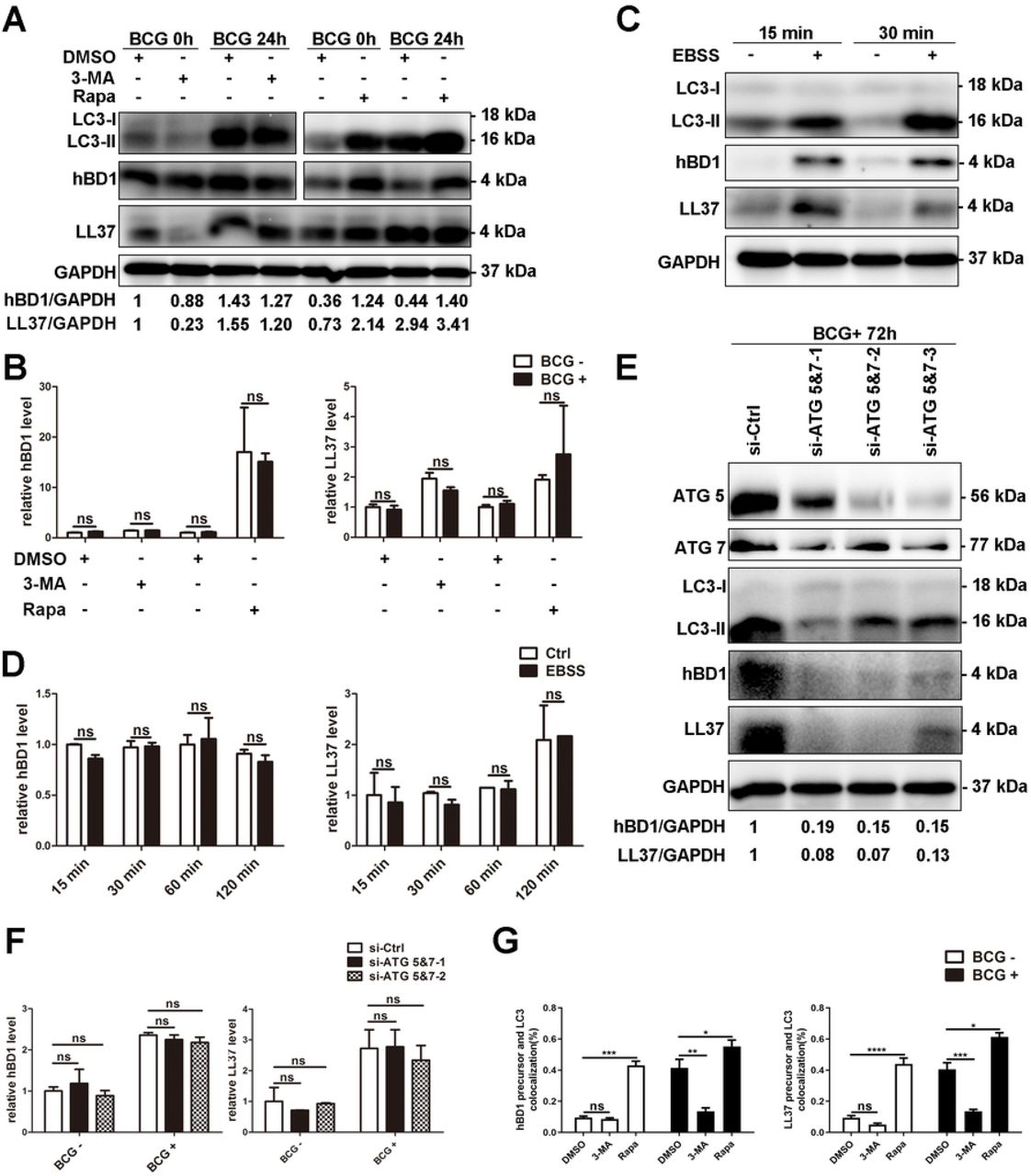 Autophagy influences the active peptide levels of hBD1 and LL37. (A) The autophagic level of A549 cells affected the active peptides level of hBD1 and LL37. A549 cells were pretreated with 4 μM rapamycin for 6 h and 5 mM 3-MA for 2 h and then infected with BCG for 24 h. The active peptide levels of hBD1 and LL37 were evaluated by western blotting. (B) The autophagic level of A549 cells did not affect the mRNA level of hBD1 and LL37. A549 cells were pretreated and infected with BCG as described above. The mRNA levels of hBD1 and LL37 were evaluated using real-time PCR. (C D) Starvation-induced autophagy promoted the production of active hBD1 and LL37. A549 cells were cultured with EBSS culture medium at various time points. The expression of hBD1 and LL37 was detected by western blotting and real-time PCR. (E F) Silencing ATG 5 and 7 disturbed the production of active hBD1 and LL37. A549 cells were transfected with 100 nM si-control or siRNA for ATG 5 and 7 for 72 h and infected with BCG. The expression of hBD1 and LL37 was detected by western blotting and real-time PCR. (G) The autophagic level of A549 cells affected the co-localization level of hBD1/LL37 precursor and autophagosomes. A549 cells stably expressing green fluorescent protein (GFP)– tagged LC3 (GFP-LC3) and mCherry Fluorescence Protein (mCherry)-tagged hBD1 or LL37 precursor (hBD1/LL37 precursor-mCherry) were pretreated with rapamycin and 3-MA and infected with BCG as described above. GFP-LC3 puncta ( > 1 μm) were observed and counted under confocal microscopy. Co-localization of hBD1/LL37 precursor and autophagosomes was detected by confocal microscopy. Data are expressed as the means ± standard deviation (s.d.) * p