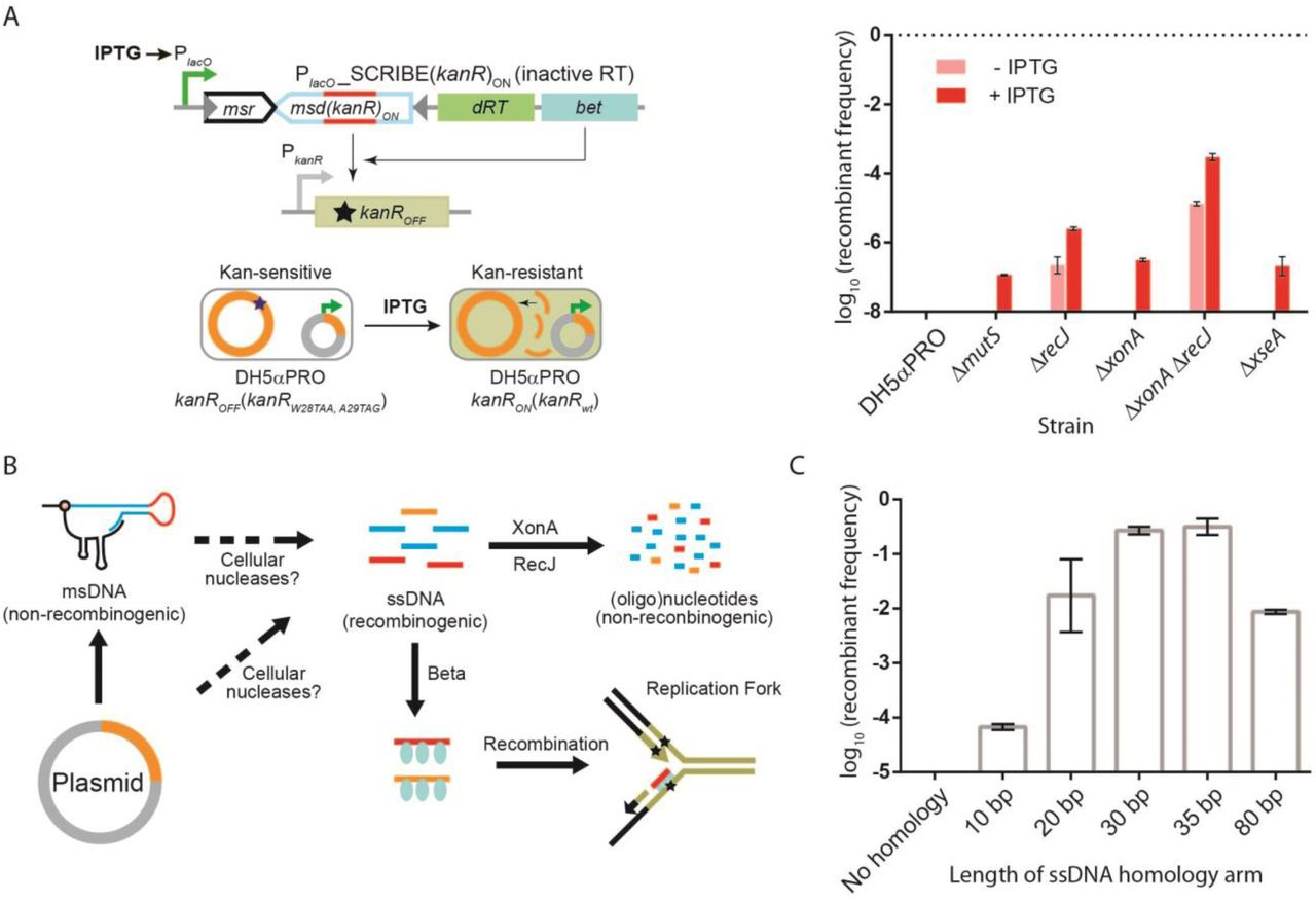 Strategy used to deplete unedited memory registers from dual-register amplicons and the frequency of cell-cell interactions recovered by high-throughput sequencing in the connectome mapping experiment. (A) Using restriction digestion as an alternative strategy to remove unedited registers from the PCR amplified amplicons instead of allele-specific PCR. Genomic DNA samples were purified from the parental recipient cells (MG1655 Δ recJ Δ xonA galK OFF ), as well as cultures obtained after conjugation (transconjugants) in the experiment described in Fig. 4C . The galK locus was PCR amplified from the purified genomic DNA samples and run on a 6% TBE gel before and after digestion with ClaI and AgeI enzymes (which cut unedited Register 1 and Register 2, respectively) and stained by SYBR gold. The galK amplicon obtained from the parental sample was completely digested after enzymatic digestion. In contrast, the galK amplicon obtained from the transconjugant sample was not completely digested by ClaI and AgeI. The undigested band, corresponding to edited registers, comprised ∼3.9% of the signal in this lane (measured by densitometry). (B) This band was subsequently excised, purified and Sanger-sequenced. Drops in the quality of sequencing in Register 1 and 2 indicate the presence of mixed DNA populations containing variations in these two regions in these samples. Subsequently, Illumina adaptors and barcodes were added to this undigested amplicon using an additional round of PCR and the obtained amplicon was sequenced by Illumina MiSeq (see Methods). (C) Number of unique variants (interactions) per million reads obtained from sequencing the two target registers in the genomes of recipient cells after conjugation with donor cells, as well as two randomly selected non-targeted regions within the galK amplicon (used as a negative control and to assess the rate of false-positives), for the experiment shown in Fig. 4C .