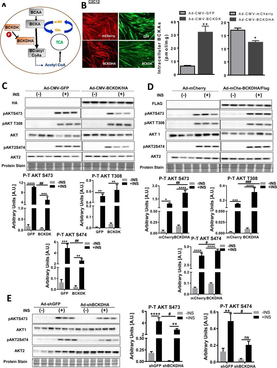 Modulating intracellular BCKAs by modifying BCAA catabolic enzyme expression alters skeletal and cardiac muscle insulin signaling. a) Brief schematic of enzymes regulating BCKA catabolism. b) UPLC mass spectrometric analysis of intracellular BCKAs levels in C2C12 myotubes transduced with Ad-CMV-GFP-hBCKDK/HA (MOI 150) or Ad-CMV-mCherry-hBCKDHA/Flag (MOI 150) and their appropriate controls. The graph represents mean ± S.E.M., n=3, *p