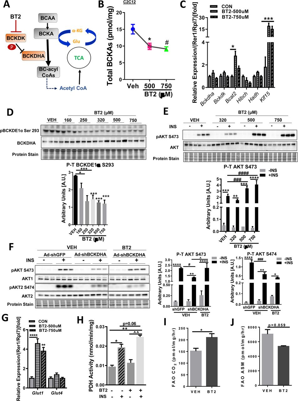 Pharmacological inhibition of BCKDK by BT2 improves muscle insulin signaling. a) A diagrammatic representation of BT2 action. b) Intracellular BCKAs by UPLC/MS-MS and c) qPCR analysis of BCAA catabolic genes Bckdha , Bckdk , Bcat2 , Hadh , Hibch and Klf15 corrected to Rer1/Rpl7 reference gene levels in C2C12 myotubes treated with 500µM and 750µM BT2 for 20 hr. d) Immunoblot analysis and densitometric quantification of phosphorylated BCKDH subunit E1 at Ser 293 in C2C12 myotubes treated with 160µM, 250µM, 320µM, 500µM and 750µM BT2 for 20 hr. e) Immunoblotting and densitometric quantification of phosphorylated AKT Ser 473 and total AKT in differentiated C2C12 cells pretreated with 320µM, 500µM and 750µM BT2 for 20 hr followed by incubation with 100nM insulin for 15 mins. (f) Immunoblot analysis and densitometric quantification of phosphorylated AKT Ser 473, Ser 474 and total AKT1 and AKT2 in C2C12 myoblasts transduced with Ad-CMV-shGFP or Ad-CMV-shGFP-r/mBCKDHA (MOI 200) for 48 hr followed by incubation with 500µM BT2 for 20 hr and stimulation with 100nM insulin for 15 mins. Statistical analysis was performed using a two-way ANOVA followed by a Tukey's multiple comparison test; *p