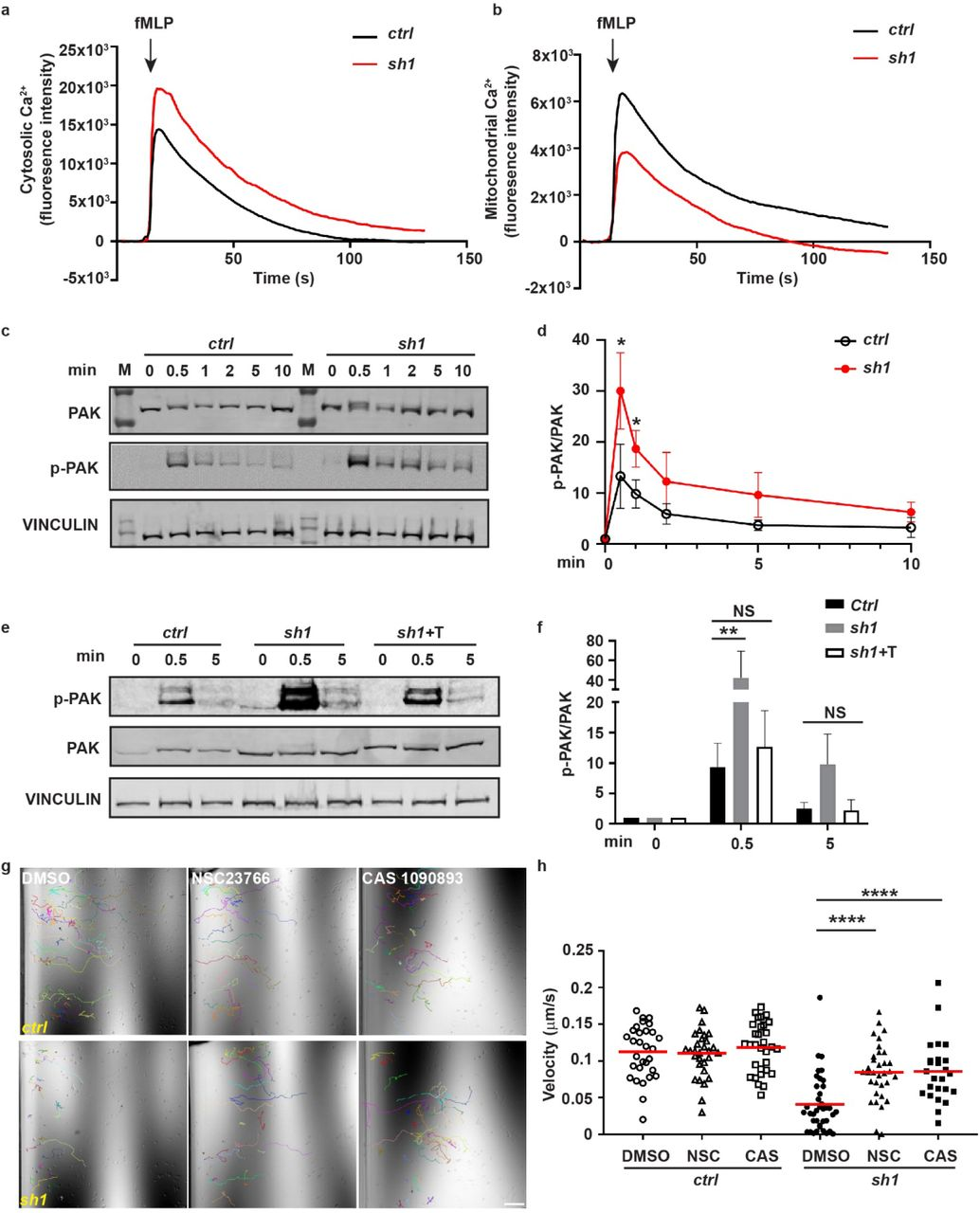 Mitochondria-ER tether restores RAC signaling and neutrophil chemotaxis in MFN2-deficient HL-60 cells. a) Cytosolic Ca 2+ in the control or MFN2 knockdown cell lines after fMLP stimulation. b) Mitochondrial Ca 2+ in the control or MFN2 knockdown cell lines after fMLP stimulation. c) Western blot determining the amount of pPAK in dHL-60 treated with fMLP at indicated time points. d) Quantification of p-PAK in different cell lines at indicated time points after fMLP stimulation a). e) Western blot determining the amount of pPAK in dHL-60 treated with fMLP at indicated time points and f) quantification of p-PAK in different cell lines at indicated time points after fMLP stimulation. g) Quantification of velocity of neutrophil chemotaxis to fMLP in the presence of vehicle or the Rac inhibitor NSC23766 or CAS1090893. h) Representative images with individual tracks. One representative result of three biological repeats is shown in a, b, c, e, g and h. Data are pooled from three independent experiments in d and f. n > 20 cells were tracked or quantified in h. *, p