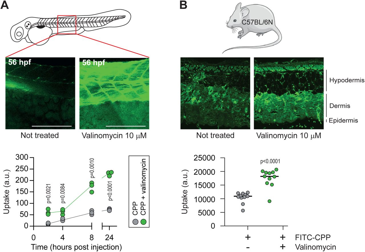 Hyperpolarization improves CPP uptake  in vivo . (A)  Assessment of CPP  in vivo  uptake in zebrafish embryos in normal and hyperpolarized conditions. Forty-eight hour post fertilization, zebrafish embryos were injected with 3.12 mM FITC-TAT-RasGAP 317-326 (W317A) with or without 10 mM valinomycin. Scale bar: 200 mm. Comparison between conditions in the presence or in the absence of valinomycin was done using two-tailed paired t-test. The results correspond to three independent experiments.  (B)  Assessment of CPP  in vivo  uptake in C57BL/6N mice in normal and hyperpolarized conditions. Mice were injected with 5 mM FITC-TAT-RasGAP 317-326 (W317A) with or without 10 mM valinomycin (n=11 injections per condition). Comparison between conditions in the presence or in the absence of valinomycin was done using two-tailed paired t-test.