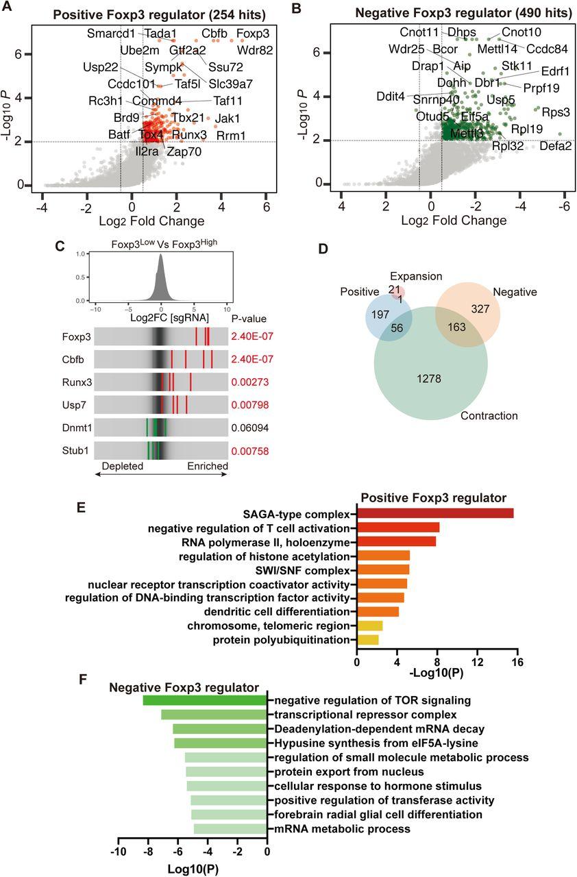 Identification of novel Foxp3 regulators in Treg cells A, B , A scatter plot of the Treg screen result showing positive regulators (A) and negative regulators (B). Genes that have met cutoff criteria (P-value