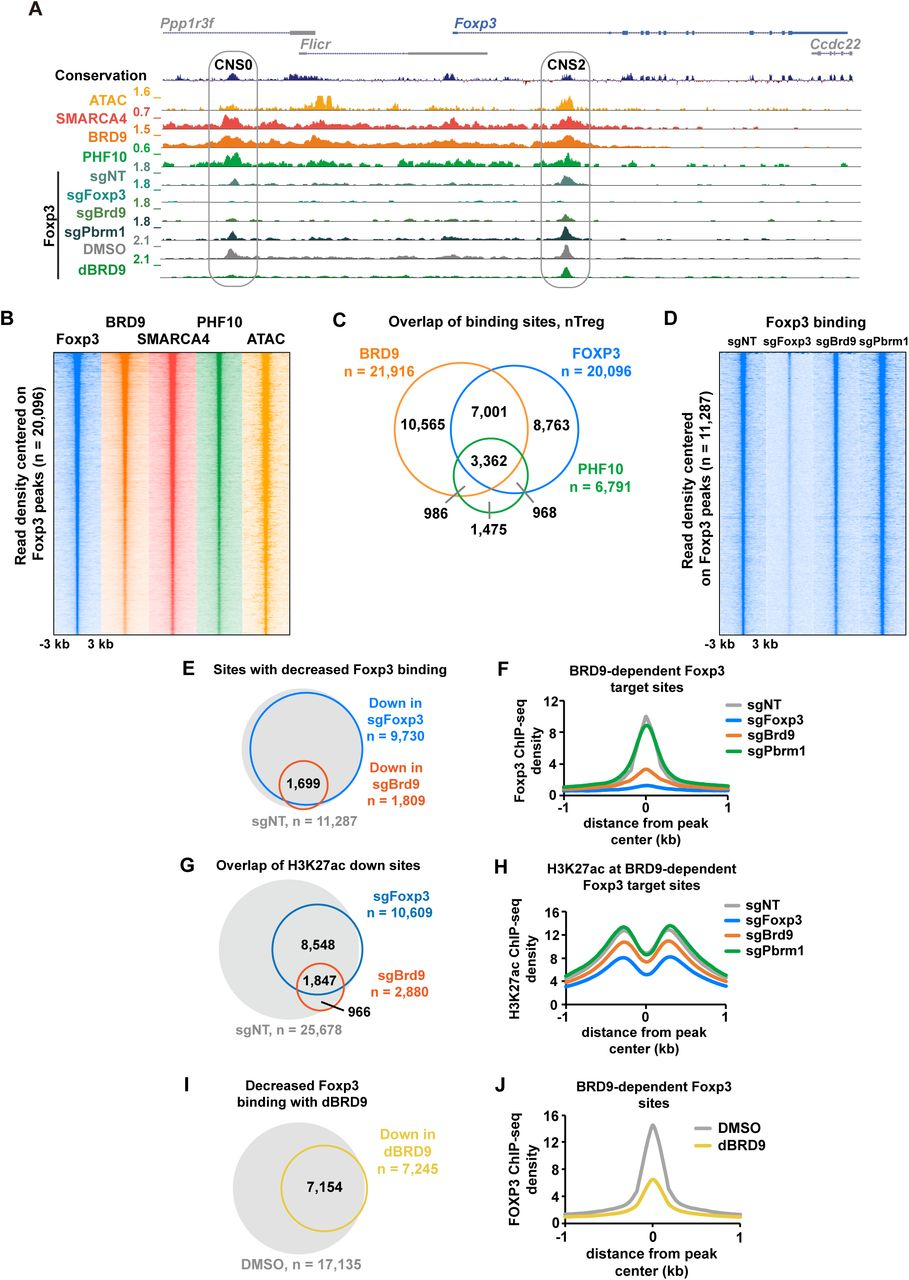 BRD9 deletion reduces Foxp3 binding at CNS0, CNS2 enhancers and a subset of Foxp3 target sites A, Genome browser tracks of SMARCA4, BRD9, PHF10 ChIP-seq and ATAC-seq signal, as well as Foxp3 ChIP-seq in sgNT, sgFoxp3, sgBrd9 and sgPbrm1 Tregs and Foxp3 in DMSO and dBRD9 treated Tregs (2.5 μM dBRD9 for 4 days). Foxp3 locus is shown with CNS0 and CNS2 enhancers indicated in gray ovals. B , Heat map of Foxp3, BRD9, SMARCA4, PHF10 ChIP-seq and ATAC-seq signal ± 3 kb centered on Foxp3-bound sites in Tregs, ranked according to Foxp3 read density. C, Venn diagram of the overlap between ChIP-seq peaks in Tregs for BRD9, Foxp3, and PHF10 (hypergeometric p value of BRD9:Foxp3 overlap = e -30704 , hypergeometric p value of PHF10:Foxp3 overlap = e -13182 , hypergeometric p value of BRD9:PHF10 overlap = e -12895 ). D, Heat map of Foxp3 ChIP-seq signal in sgNT, sgFoxp3, sgBrd9 and sgPbrm1 Tregs ± 3 kilobases (kb) centered on Foxp3-bound sites in sgNT, ranked according to read density. E , Venn diagram of the overlap (hypergeometric p value = e -11,653 ) between sites that significantly lose Foxp3 binding (FC 1.5, Poisson p value