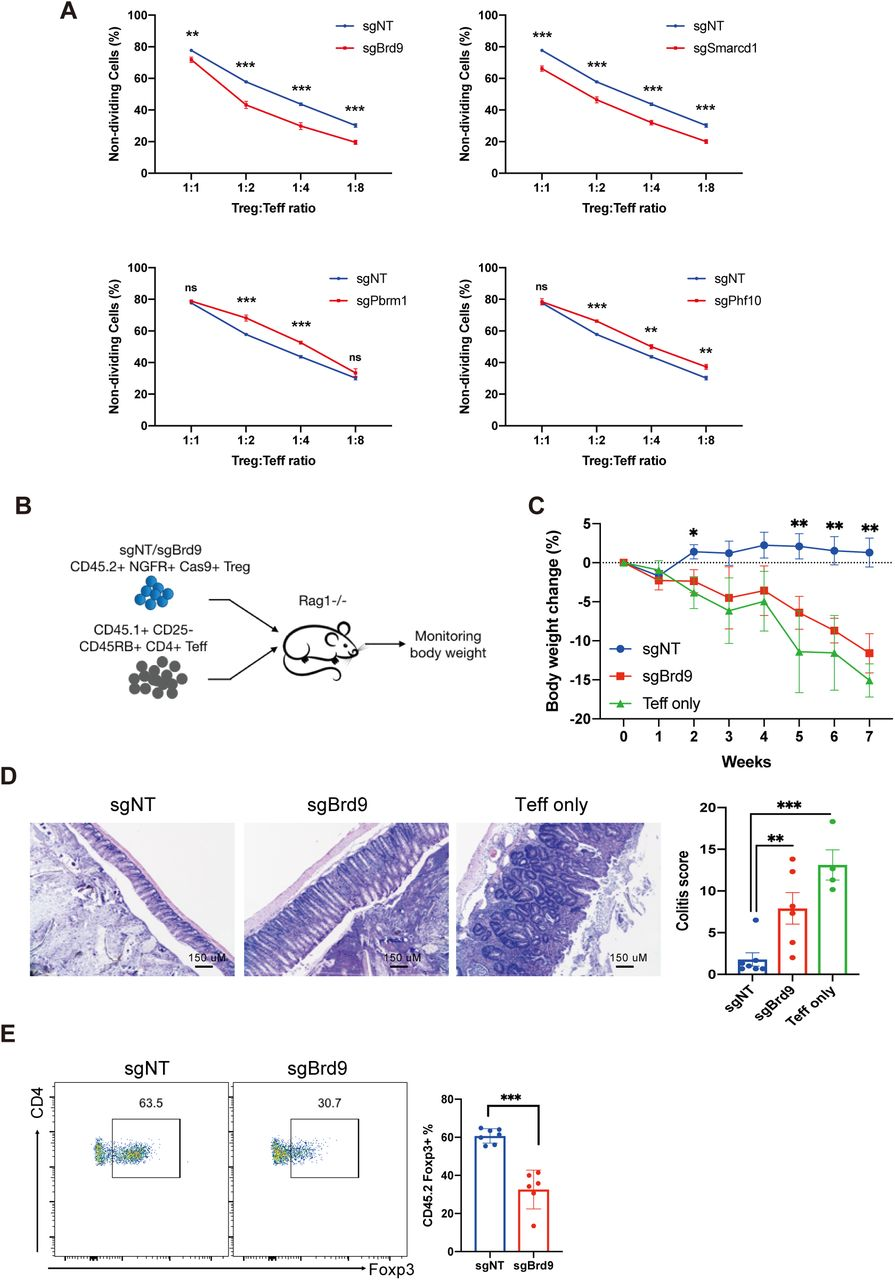 The ncBAF complex regulates Treg suppressor function in vitro and in vivo. A. In vitro suppression assay of Tregs with sgRNA knockout of Brd9, Smarcd1, Pbrm1, and Phf10 (n=3 per group, data represent ± s.d.). sgNT was used as non-targeting control. B-F. Experiment to measure Treg function of sgNT or sgBrd9 knockout Treg cells relative to no Tregs in a T cell transfer induced colitis model. B, Experimental procedure. C, Body weight loss. D, Colon histology (left) and colitis scores (right). E, Percentage of Foxp3+ cells in transferred CD45.2+CD4+ Treg population at end point. (n=4-6 per group. Data represent mean ± s.e.m.) Statistical analyses were performed using unpaired two-tailed Student's t test (ns: p≥0.05, *p
