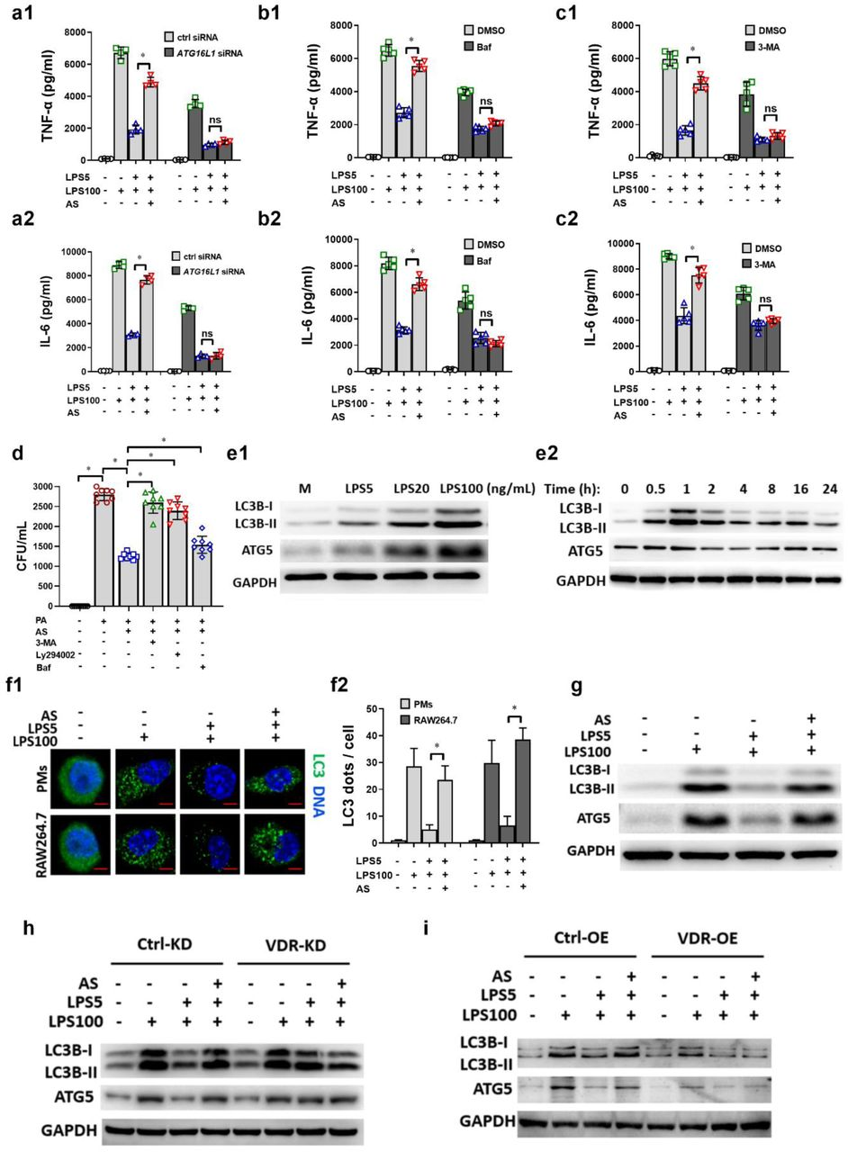AS's effect is autophagy-dependent through VDR in vitro . (a) Effect of ATG16L1 siRNA on TNF-α (a1) and IL-6 (a2) level in LPS tolerance RAW264.7 cells treated with AS (n = 5). (b) Effect of Bafilomycin (Baf) (10 ng/mL) on TNF-α (b1) and IL-6 (b1) level in LPS tolerance RAW264.7 cells treated with AS (n = 5). (c) Effect of 3-MA (5 mM) on TNF-α (c1) and IL-6 (c2) levels in LPS tolerance RAW264.7 cells treated with AS (n = 5). (d) Effect of 3-MA, Ly294002 (10 μM) or Baf on the bacteria clearance in LPS tolerance RAW264.7 cells treated with AS (n = 8). (e1) LPS increased the levels of LC3B-I, LC3B-II, ATG16L1 and ATG5 protein expression in a dose-dependent manner in RAW264.7 cells. (e2) The levels of LC3B-I, LC3B-II, ATG16L1 and ATG5 protein expression over time in RAW264.7 cells treated with LPS (100 ng/mL). The level of expression peaked at 1 h. (f) Representative image of immunofluorescence staining of LC3 in LPS tolerance RAW264.7 cells treated with AS (Bar = 2 μm) (f1) Relative fluorescent puncta indicating LC3 aggregation was quantified from 100 cells, the number in the medium group was normalized as 1 (f2). (g) The expression of LC3B-II, ATG16L1, and ATG5 protein in LPS-tolerance RAW264.7 cells treated with AS. (h) Change of LC3B-II, ATG16L1 and ATG5 protein level in LPS tolerance RAW264.7 cells (VDR-KD) treated with AS. (i) Changes of LC3B-II, ATG16L1 and ATG5 protein levels in LPS tolerance RAW264.7 cells (VDR-OE) treated with AS. (* P
