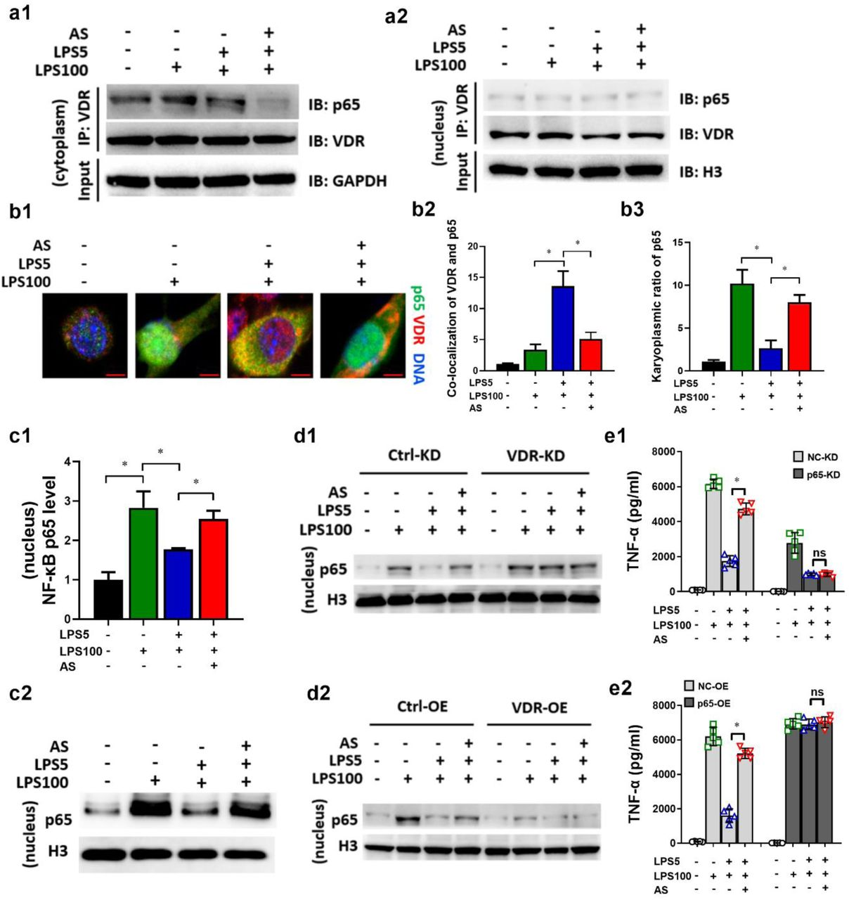 AS inhibits physical interaction between VDR and NF-κB p65 in LPS tolerance macrophages. RAW264.7 cells were treated as described in the legend of figure 2d . (a) The cytoplasm (a1) and nucleus (a2) lysate were used for an IP experiment using anti-VDR antibody, and the associated NF-κB p65 (p65) was detected by immunoblotting (IB). (b) Immunostaining to observe the co-localization of p65 and VDR. P65 was probed using Alexa Fluor 488 (green). VDR was probed using Alexa Fluor 555 (red). Representative images are shown (Bar = 5μm) (b1). The co-localization of VDR and P65 (b2) and karyoplasmic ratio of P65 (b3) was quantified from 100 cells (normalized to medium). (c) P65 level in nucleus lysate were detected using ELISA and IB. (d) Change of P65 level in VDR-KD (d1) or VDR-OE (d2) LPS tolerance RAW264.7 cells treated with AS. (e) Change of TNF-α level in P65-KD (e1) or P65-OE (e2) LPS tolerance RAW264.7 cells treated with AS (n = 5). (* P
