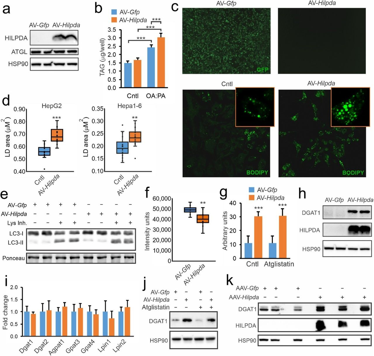 HILPDA promotes LD storage and increases DGAT1 levels in HepG2 cells. HepG2 cells were transduced with AV- Hilpda , AV- GFP , or non-transduced and treated with oleate:palmitate (2:1 ratio). a) HILPDA protein levels. b) Triglyceride content in cells incubated with serum free DMEM or 3h in 1 Mm oleate:palmitate. c) GFP fluorescence and BODIPY 493/503 staining. d) Quantification of LD size in HepG2 treated with 0.8mM oleate:palmitate for 8h and Hepa 1-6 cells treated with 1mM for 24h. e) LC3-I and LC3-II protein levels in HepG2 cells lipid loaded with 0.8mM oleate:palmitate for 8h, in the presence and absence of lysosomal inhibitors cocktail. f) Total DAG levels as determined by lipidomics in HepG2 cells incubated with 0.8mM oleate:palmitate for 5h. g) DGAT activity in HepG2 cells the presence and absence of the ATGL inhibitor Atglistatin. h) DGAT1 and HILPDA protein levels. i) mRNA levels of selected genes. j) DGAT1 protein levels in presence and absence of Atglistatin. j) DGAT1 and HILPDA protein levels in livers of mice infected with AAV- Gfp or AAV- Hilpda ( 21 ).