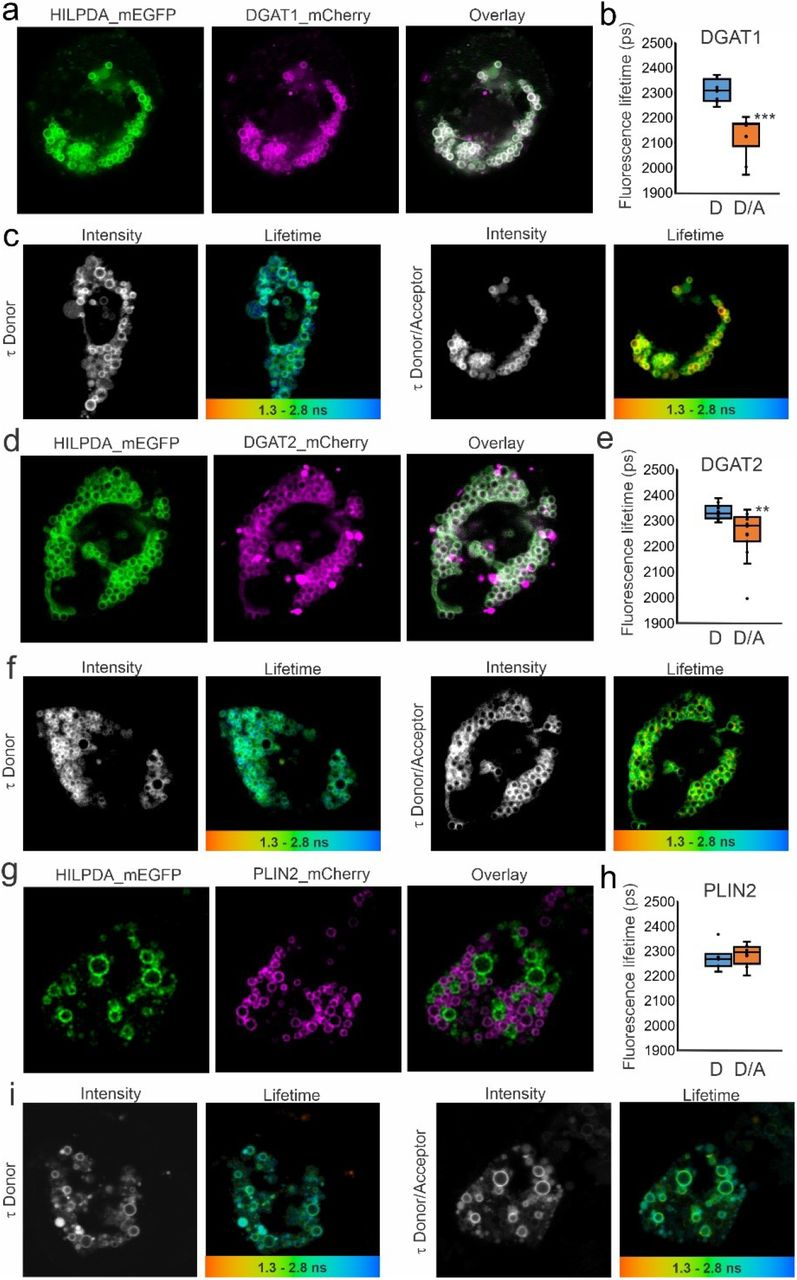 HILPDA and DGAT1/DGAT2 colocalize and physically interact intracellularly. HepG2 cells were transfected with HILPDA_mEGFP and DGAT1_mCherry or DGAT2_mCherry under lipid loaded conditions. Microscopy was carried out on live cells. a) HILPDA_EGFP and mDGAT1_mCherry partially colocalize in HepG2 cells. b) Fluorescence lifetime (τ) of HILPDA_EGFP in absence and presence of acceptor DGAT1_mCherry. c) Intensity image and LUT coloured lifetime image from red (1300 ps) to blue (2800 ps) from HILPDA_EGFP lifetime (τ) in the absence (left) or presence (right) of DGAT1_mCherry indicating where interaction occurs d) HILPDA_EGFP and DGAT2_mCherry partially colocalize in HepG2 cells. e) Fluorescence lifetime (τ) of HILPDA_EGFP in absence and presence of acceptor DGAT2_mCherry. f) Intensity image and LUT coloured lifetime image from red (1300 ps) to blue (2800 ps) from HILPDA_EGFP lifetime (τ) in the absence (left) or presence (right) of DGAT2_mCherry indicating where interaction occurs g) HILPDA_EGFP and PLIN2_mCherry do not colocalize in HepG2 cells. h) Fluorescence lifetime (τ) of HILPDA_EGFP in absence and presence of acceptor PLIN2_mCherry. Asterisk indicates significantly different from donor only according to Student's t test; **P
