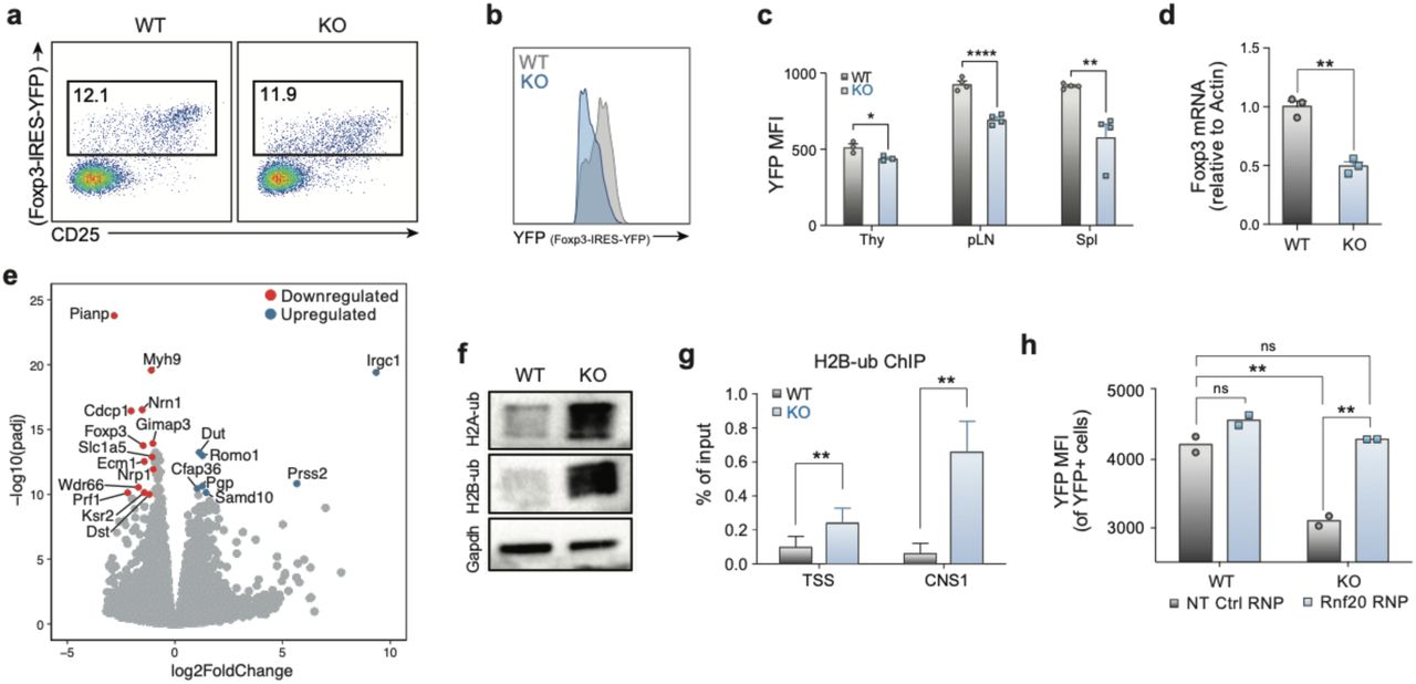 Usp22 Regulates Foxp3 Transcription by Reciprocal Ubiquitin Modulators. a) Representative flow cytometry analysis of the YFP + Treg population (gated on CD4 + cells) from the spleen and lymph nodes of Treg-specific Usp22 WT and KO mice. b) Histogram of YFP expression from the spleen and lymph nodes of Treg-specific Usp22 WT and KO mice from panel a. c) Statistical analysis of YFP MFI from thymus (Thy), peripheral lymph nodes (pLN) and spleen (Spl), n=3-4. d) qPCR analysis mRNA level of Foxp3 in sorted YFP+ cells of spleen from Usp22 WT and KO mice. ns indicates no significant difference, *P