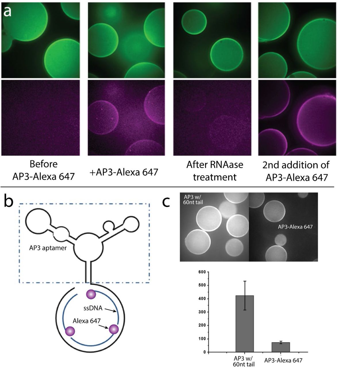 Additional unique advantages of aptamer labeling. (a) Two-rounds of sequential binding of Alexa 647 labeled AP3 on GFP beads using RNase treatment demonstrating aptamers as multiplexing reagents. (b) Left: structure of modified AP3 with 60nt linker at its 3'end that is hybridized to bind three labeled ssDNA oligos. Right: brightness comparison of beads with directly labeled AP3 and the 3X modified version (equal concentrations of AP3 were used).