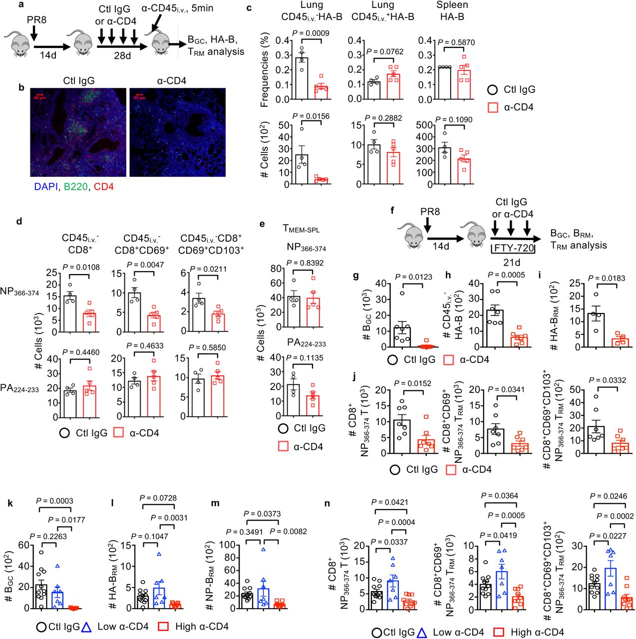 Lung CD4 + T cells deliver localized help for the development of tissue-resident B and CD8 + T cells. a-e , WT mice were infected with PR8 strain of influenza virus and treated with control (ctl) IgG or α-CD4 starting at 14 d.p.i. Mice were injected with α-CD45 intravenously (i.v.) 5 min before sacrifice at 42 d.p.i. a , Experimental scheme. b , Representative confocal images of iBALT in the lung. Lung sections were stained with α-CD4 (red), α-B220 (green) and DAPI (blue). c , Frequencies and cell number of influenza HA-specific B cells (HA-B) in the lung tissue (CD45 i.v. - B220 + GL7 - HA + ), lung blood vessels (CD45 i.v. + B220 + GL7 - HA + ) and spleen (B220 + GL7 - HA + ). d , Lung tissue CD8 + , CD8 + CD69 + or CD8 + CD69 + CD103 + NP 366-374 or PA 224-233 T RM cells were enumerated. e , Splenic CD8 + NP 366-374 or PA 224-233 memory cells (T MEM-SPL ) were enumerated. f-j , WT mice were infected with PR8 and treated with ctrl IgG or α-CD4 (starting at 14 d.p.i.) in the presence of daily injection of FTY-720 (starting at 13 d.p.i.). f , Schematic of experimental design. g , B GC cell numbers were enumerated by flow cytometry. h, i , Total HA-specific B cells (total HA-B) ( h ) or HA-specific tissue-resident memory B cells (HA-B RM : CD45 i.v. - B220 + GL7 - IgD - IgM - HA + CD38 + ) ( i ) were enumerated. j , Lung tissue CD8 + , CD8 + CD69 + or CD8 + CD69 + CD103 + NP 366-374 or PA 224-233 T RM cells were enumerated. k-n , WT mice were infected with PR8 and received ctl IgG, high or low dose of α-CD4. Cell number of B GC ( k ), HA-specific B RM ( l ) and NP-specific B RM cells ( m ) in the lung tissue. n , Lung tissue CD8 + , CD8 + CD69 + or CD8 + CD69 + CD103 + NP 366-374 T RM cells were enumerated. In b-e were the representative data from at least two independent experiments (4-5 mice per group). In g-h and j-n , data were pooled from two ( g, h and j ) or three ( k - n ) independent experiments (2-5 mice per group). P values were calculated by unpaired two-