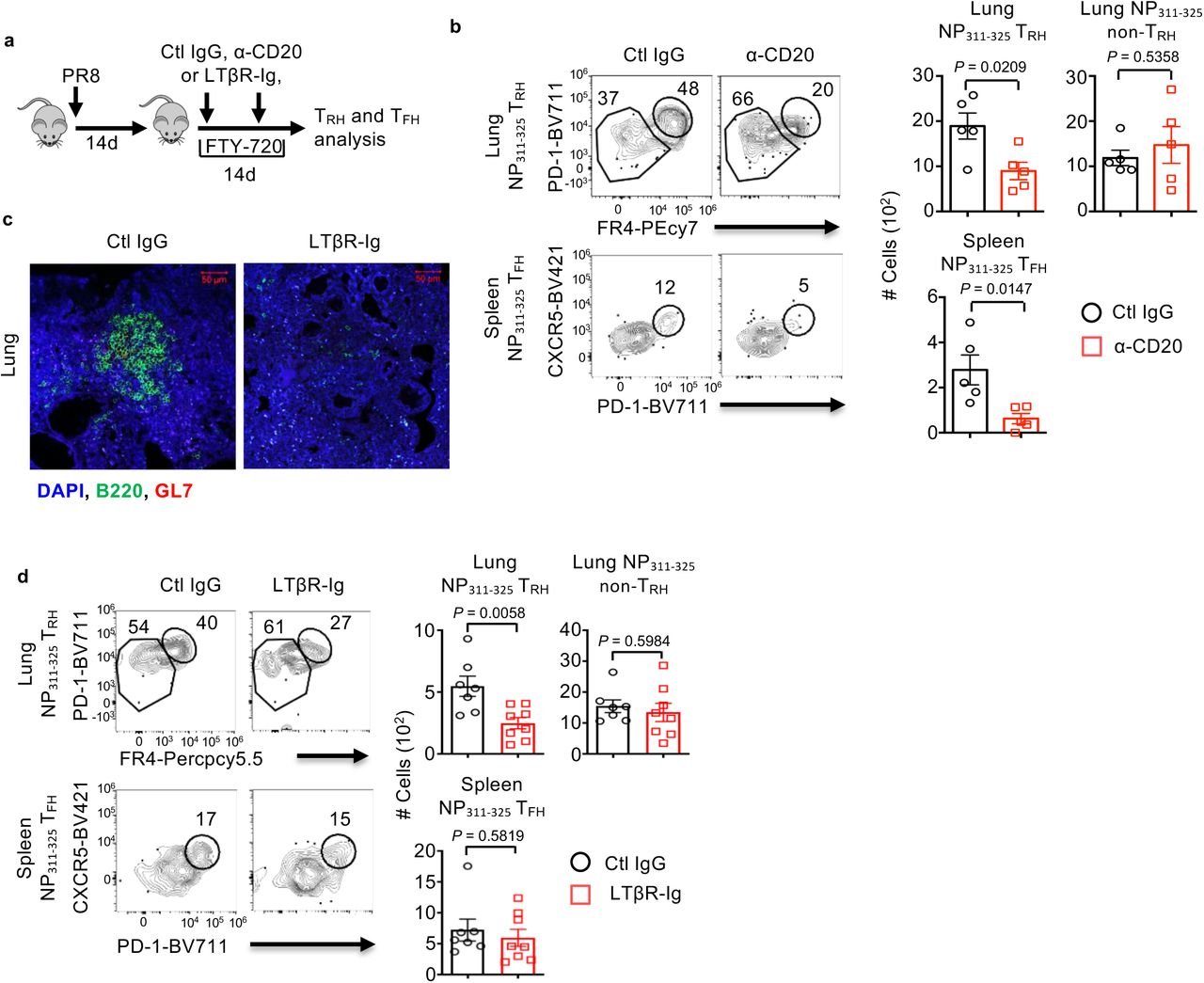 Optimal T RH formation requires lung B cells and iBALT formation WT ( a-d ) mice were infected with PR8 and treated with ctl IgG, α-CD20 ( b ) or LTβR-Ig ( c and d ) (weekly starting at 14 d.p.i.) in the presence of daily injection of FTY-720 (13-27 d.p.i.). a , Experimental scheme. b and d , Representative dot plot and cell numbers of influenza-specific NP 311-325 lung T RH, lung non-T RH or splenic T FH cells. c , Representative image from lung tissue section stained with B220/GL-7 following ctl IgG or LTβR-Ig treatment. In c , the representative image was from at least two independent experiments (3-4 mice per group). In b , representative data were from at least two independent experiments (4-5 mice per group). In d , data were pooled from two independent experiments (3-4 mice per group). P values were calculated by unpaired two-tailed Student's t-test.