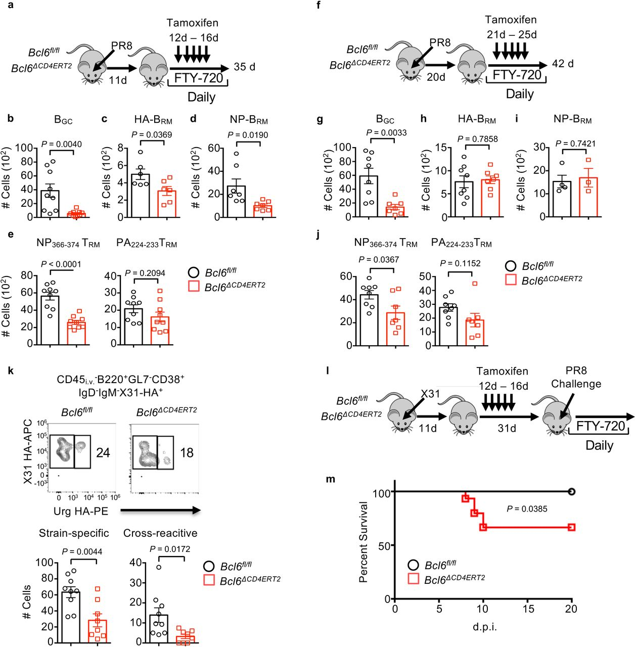 T RH cells are required for the development of lung protective CD8 + T RM and B cell immunity. a-j , Bcl6 fl/fl or Bcl6 ΔCD4ERT2 mice were infected with PR8. a-e , Tamoxifen was administrated daily from 12-16 d.p.i. in the presence of daily FTY720 administration (11-34 d.p.i.). a , Schematics of experimental design. Cell numbers of B GC ( b ), HA-specific B RM ( c ), NP-specific B RM ( d ), e , CD8 + CD69 + NP 366-374 T RM or CD8 + CD69 + PA 224-233 T RM at 35 d.p.i. f-j , Tamoxifen was administrated daily from 21-25 d.p.i. in the presence of daily FTY720 administration (20-41 d.p.i.). f , Schematics of experimental design. Cell numbers of B GC ( g ), HA-specific B RM ( h ), NP-specific B RM ( i ), j , CD8 + CD69 + NP 366-374 T RM or CD8 + CD69 + PA 224-233 T RM at 42 d.p.i. k , Bcl6 fl/fl or Bcl6 ΔCD4ERT2 mice were infected with X31 strain (H3N2) of influenza. Tamoxifen was administrated daily from 12-16 d.p.i. in the presence of daily FTY720 administration (11-34 d.p.i.). Representative dot plot (top) and cell numbers (bottom) of X31 strain-specific B RM or cross-reactive HA-specific B RM (to H3N2 A/Uruguay/716/07 strain) at 35 d.p.i. l-m , Bcl6 fl/fl (n = 11) or Bcl6 ΔCD4ERT2 (n = 15) mice were infected with X31 and administered with tamoxifen from 12 to 16 d.p.i. Mice were re-challenged with PR8 at 42 d.p.i. in the presence of FTY720 (starting from 41d). l , Schematics of experimental design. m , Host mortality following PR8 challenge was monitored. In a-h and j-k , all data were pooled from two ( c, d, k, g, h and j ) or three ( b and e ) independent experiments (2-5 mice per group). In a-k, P values were calculated by unpaired two-tailed Student's t-test. P value of survival study in m was calculated by Logrank test.