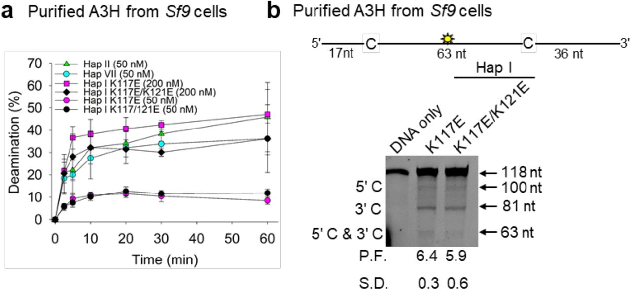 Deamination activity of A3H WT and mutants. a) Time course of deamination of A3H Hap II, A3H Hap VII, and A3H Hap I WT and mutants. Deamination was tested on a 118 nt ssDNA (100 nM) and gels analyzed for each plot are shown in Figure SF5. b) Processivity of A3H Hap I K117E and K117E/K121E. The processivity factor (P.F.) measures the likelihood of a processive deamination over a nonprocessive deamination and is described further in the Methods. Both K117E and K117E/K121E are approximately 6-fold more likely to undergo processive deamination than a nonprocessive deamination. The standard deviation for three independent experiments is shown as ( a ) error bars or ( b ) below the gel.