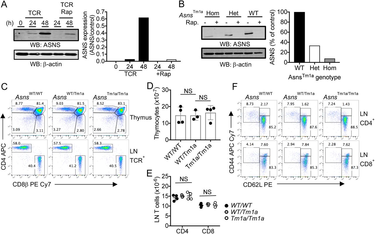 T cell development and homeostasis is unimpaired in ASNS-deficient mice (A) Western blots show levels of ASNS protein in lysates of OT-1 T cells stimulated in IMDM with SIINFEKL peptide ± rapamycin (rap), for the indicated time periods, or thymocytes. (B) ASNS levels in lysates from activated lymph node T cell from homozygous, heterozygous or wild-type (WT) Asns Tm1a mice. For (A, B) β actin serves as a protein loading control. Values in bar graph represent relative ASNS expression levels (ASNS/Actin) calculated using the LI-COR Odyssey imaging system from 1 of 2 repeated experiments. (C) Thymocyte and lymph node (LN) cell populations from littermate Asns Tm1a mice were analysed by flow cytometry. Total thymocytes (D) and LN CD4 and CD8 T cells (E) were enumerated from 3-4 age-matched male mice of each genotype. (F) Proportions of naïve, effector and memory cells within gated CD4 + and CD8 + T cell populations were analysed by analysis of CD44 and CD62L expression by flow cytometry. FACS dotplots are representative of 5-6 mice of each genotype. Values on dotplots represent % cells within the defined gates. NS – not significant, as determined by one-way ANOVA.