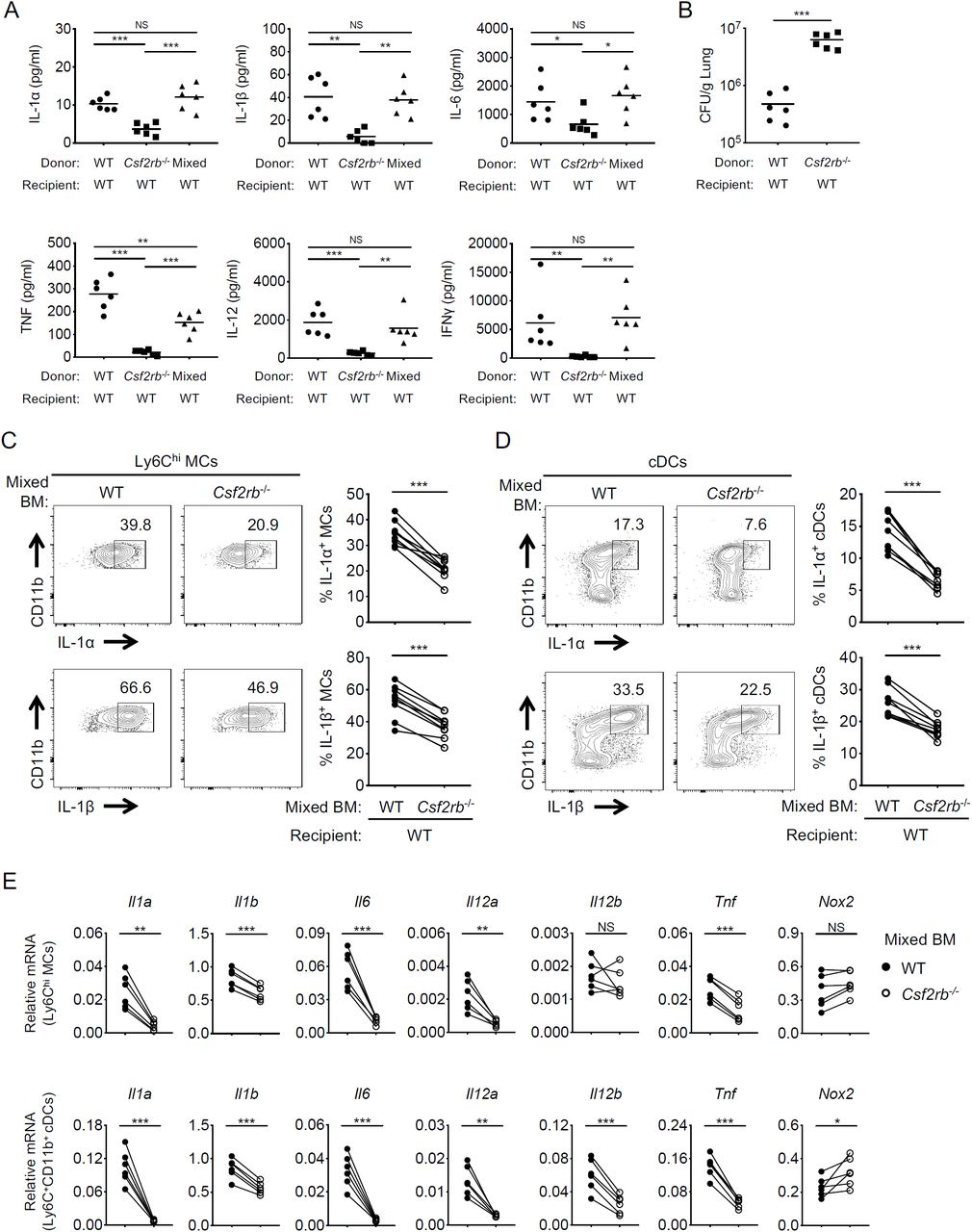 Cell-intrinsic GM-CSF receptor signaling is required for inflammatory cytokine production by myeloid cells WT→WT, Csf2rb -/- →WT, and 50% WT/50% Csf2rb -/- →WT BM chimeras intranasally infected with L . p . (A) IL-1α, IL-1β, IL-6, TNF, and IL-12 levels in the BAL at 24 hpi and IFNγ at 48 hpi. (B) L . p . CFUs in the lungs of chimeric WT→WT and Csf2rb -/- →WT mice at 72 hpi. (C and D) Representative flow cytometric plots and graphs depicting the frequency of IL-1α+ or IL-1β+ WT or Csf2rb -/- MCs (C) and cDCs (D) from the lungs of 50% WT/50% Csf2rb -/- →WT mixed BM chimeras at 24 hpi. Each line represents the paired values of WT and Csf2rb -/- cells from a given mouse. (E) Il1a, Il1b, Il6, Il12a, Il12b, Tnf , and Nox2 transcript levels in Ly6C hi MCs and Ly6C + CD11b + cDCs isolated from the lungs of 50% WT/50% Csf2rb -/- →WT mixed BM chimeras at 24 hpi, as quantified by qRT-PCR. Each line represents the paired values of WT and Csf2rb -/- cells from a given mouse. Data shown are the pooled results of two (A, B, and E) or three (C and D) independent experiments with 3 mice per experiment. NS, not significant; *p