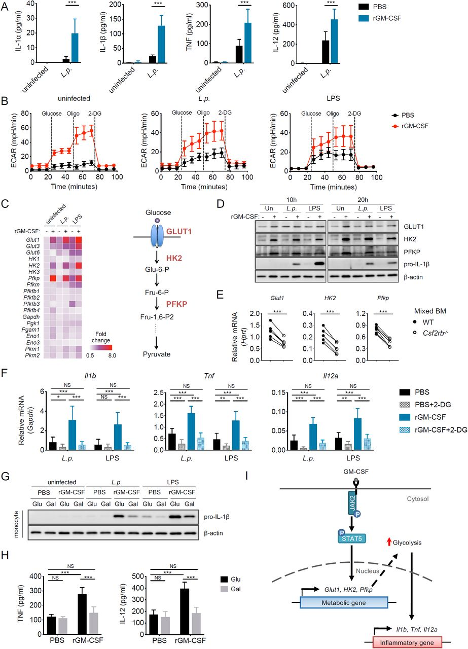 GM-CSF metabolically reprograms monocytes to undergo increased aerobic glycolysis, which enhances inflammatory cytokine production (A) Isolated WT MCs were uninfected or infected with L . p . (MOI=5) and given 10 ng/mL rGM-CSF or PBS vehicle control. IL-1α, IL-1β, TNF, and IL-12 levels at 12 hpi are shown. (B) Extracellular acidification rate (ECAR) of uninfected, L . p . - infected (MOI=5), or LPS-treated (10 ng/ml) MCs incubated with rGM-CSF (10 ng/ml) or PBS vehicle control for 12 h before and after sequential treatment with glucose (10mM), oligomycin (Oligo) (1μM), and 2-DG (50 mM). (C) Heatmap depicting the fold-change in transcript levels of genes encoding glucose transporters and glycolytic enzymes in LPS- or L . p . - treated MCs incubated with or without rGM-CSF for 10 h relative to uninfected cells without rGM-CSF. Graphical model depicts an abbreviated version of the glycolytic pathway showing upregulated GLUT1, HK2 and PFKP expression following rGM-CSF treatment. (D) Immunoblot analysis of GLUT1, HK2, PFKP, pro-IL-1β, and β-actin in the lysates of LPS or L . p . - treated MCs incubated with or without rGM-CSF at 10 and 20 hpi. (E) Glut1, HK2 and Pfkp transcript levels in WT and Csf2rb -/- Ly6C hi MCs from the lungs of 50% WT/50% Csf2rb -/- →WT mixed BM chimeras at 24 hpi. Each line represents the paired values of WT and Csf2rb -/- MCs from a given mouse. (F) Il1b, Tnf , and Il12a transcript levels in LPS- or L . p . - treated MCs treated with 10 mM 2-DG or vehicle control in the presence of rGM-CSF or PBS vehicle control at 6 hpi. (G) Immunoblot analysis of pro-IL-1β and β-actin in the lysates of WT MCs incubated in media containing glucose (10 mM) or galactose (10 mM) that were then uninfected, infected with L . p . (MOI=5), or treated with LPS (10 ng/ml) in the presence of rGM-CSF or PBS vehicle control for 10 hours.. (H) TNF and IL-12 levels in the supernatants of WT MCs incubated in media containing glucose or galactose, infected with L . p ., and tr
