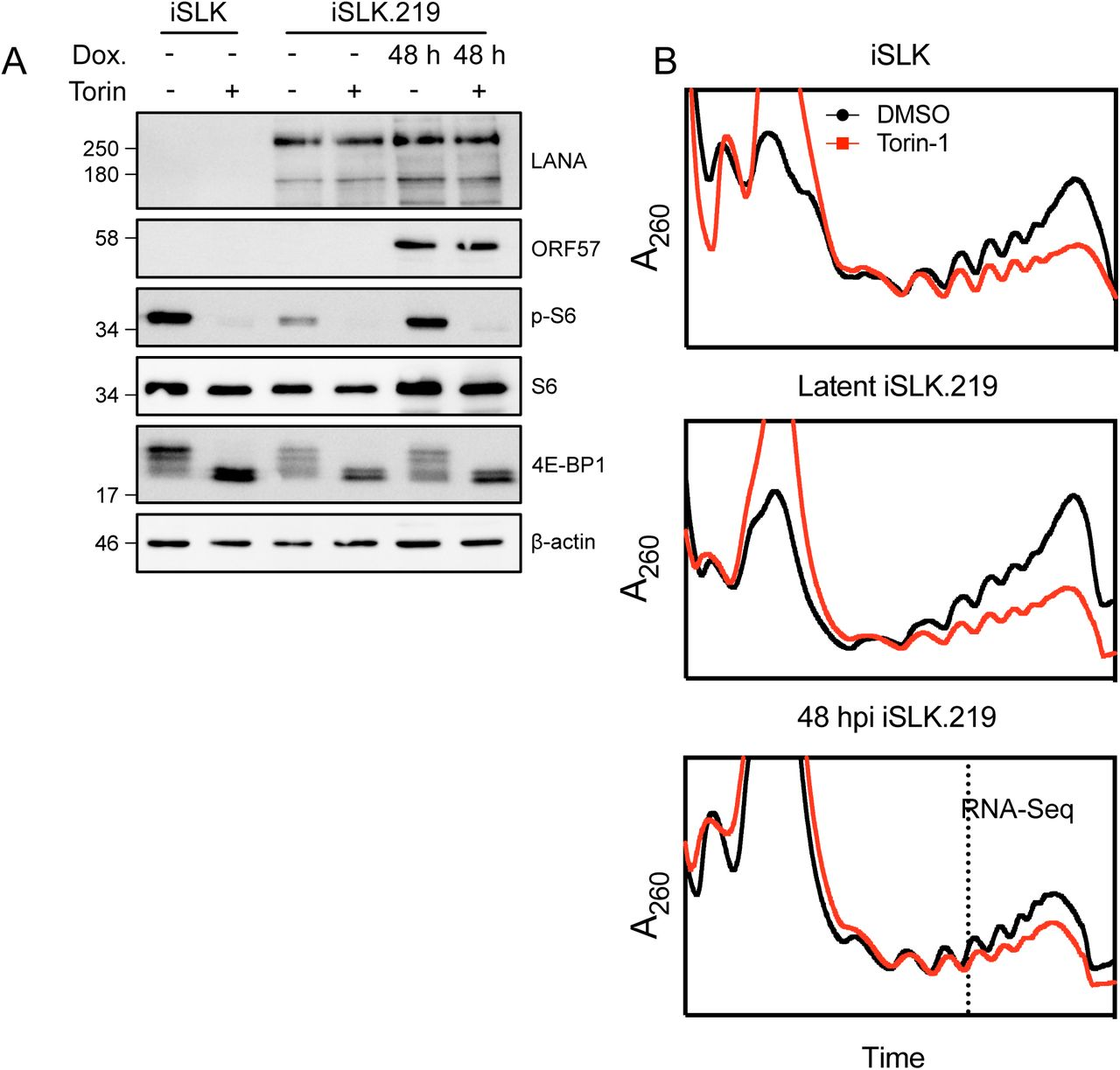 KSHV lytic replication reduces protein synthesis. (A) Western blots of whole cell lysates for polysome profiles. (B) Polysome profiles of uninfected, latent, or 48 hpi iSLK.219 treated with either Torin or DMSO for 2 h prior to harvest. Cells were treated with 100 µg/mL cycloheximide (CHX) for 5 minutes prior to harvest to prevent elongation. Cells were lysed in the presence of CHX and loaded on a 7-47% linear sucrose gradient. After separation by ultracentrifugation, the abundance of RNA (A 260 nm) in the gradient was continually measure as fractions were collected. RNA from the 48 hpi polysome fractions was isolated for sequencing.