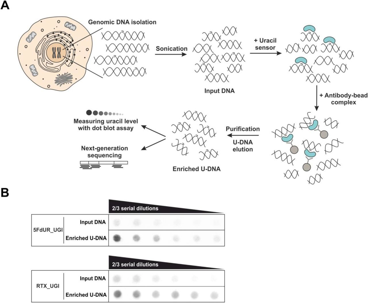 U-DNA-Seq provides genome-wide mapping of uracil-DNA distribution. (A) Schematic image of the novel U-DNA immunoprecipitation and sequencing method (U-DNA-Seq). After sonication, enrichment of the fragmented U-DNA was carried out by the 1xFLAG-ΔUNG sensor construct followed by pull-down with anti-FLAG agarose beads. U-DNA enrichment compared to input DNA was confirmed by dot blot assay before samples were subjected to NGS. (B) Immunoprecipitation led to elevated uracil levels in enriched U-DNA samples compared to input DNA in case of both 5FdUR (5FdUR_UGI) and RTX (RTX_UGI) treated samples. In case of the given treatment, the same amount of DNA was loaded from input and enriched U-DNA samples providing correct visual comparison of the dots. Two-third serial dilutions were applied.